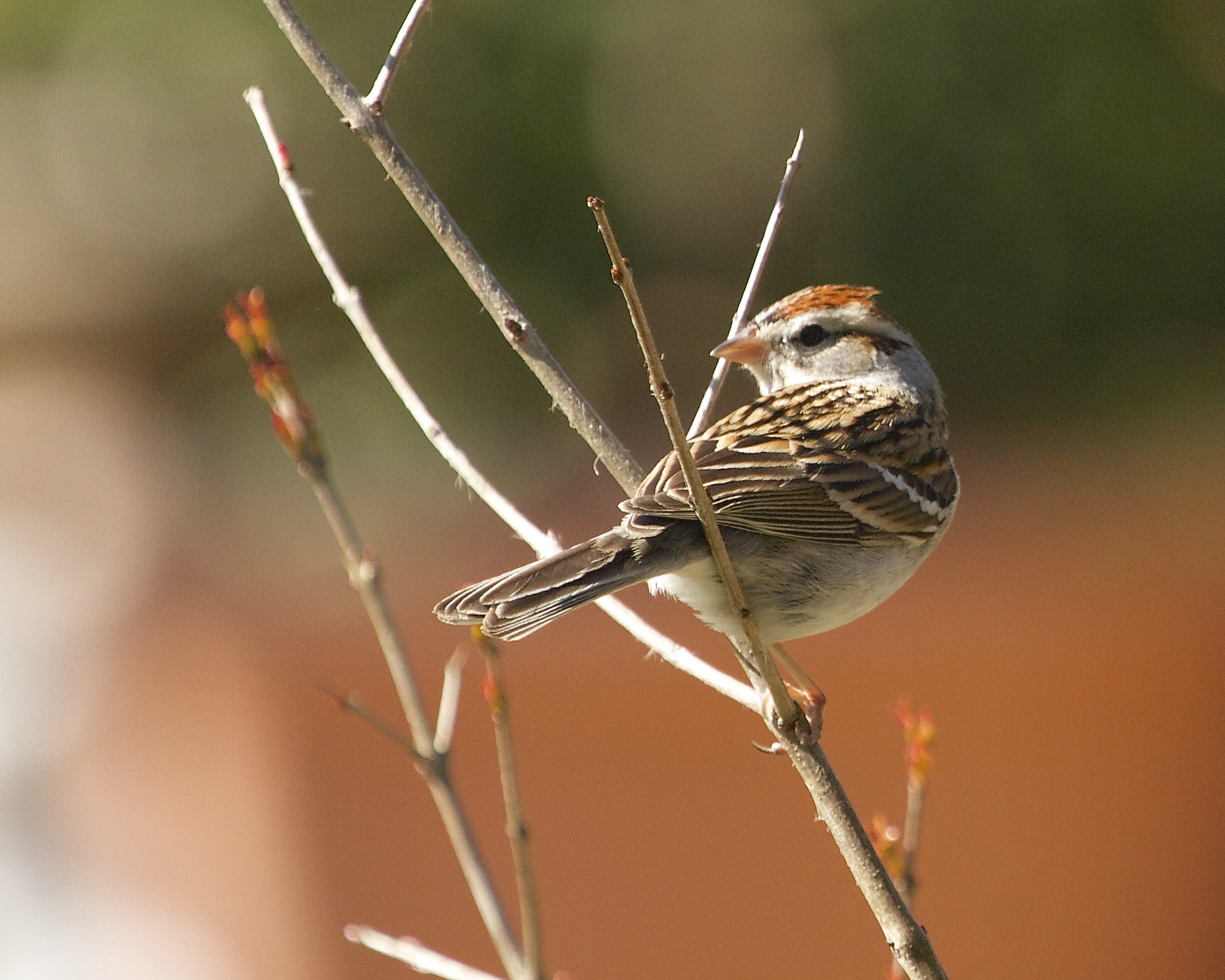Chipping Sparrow peeks over its shoulder at the sound of the doohickey.