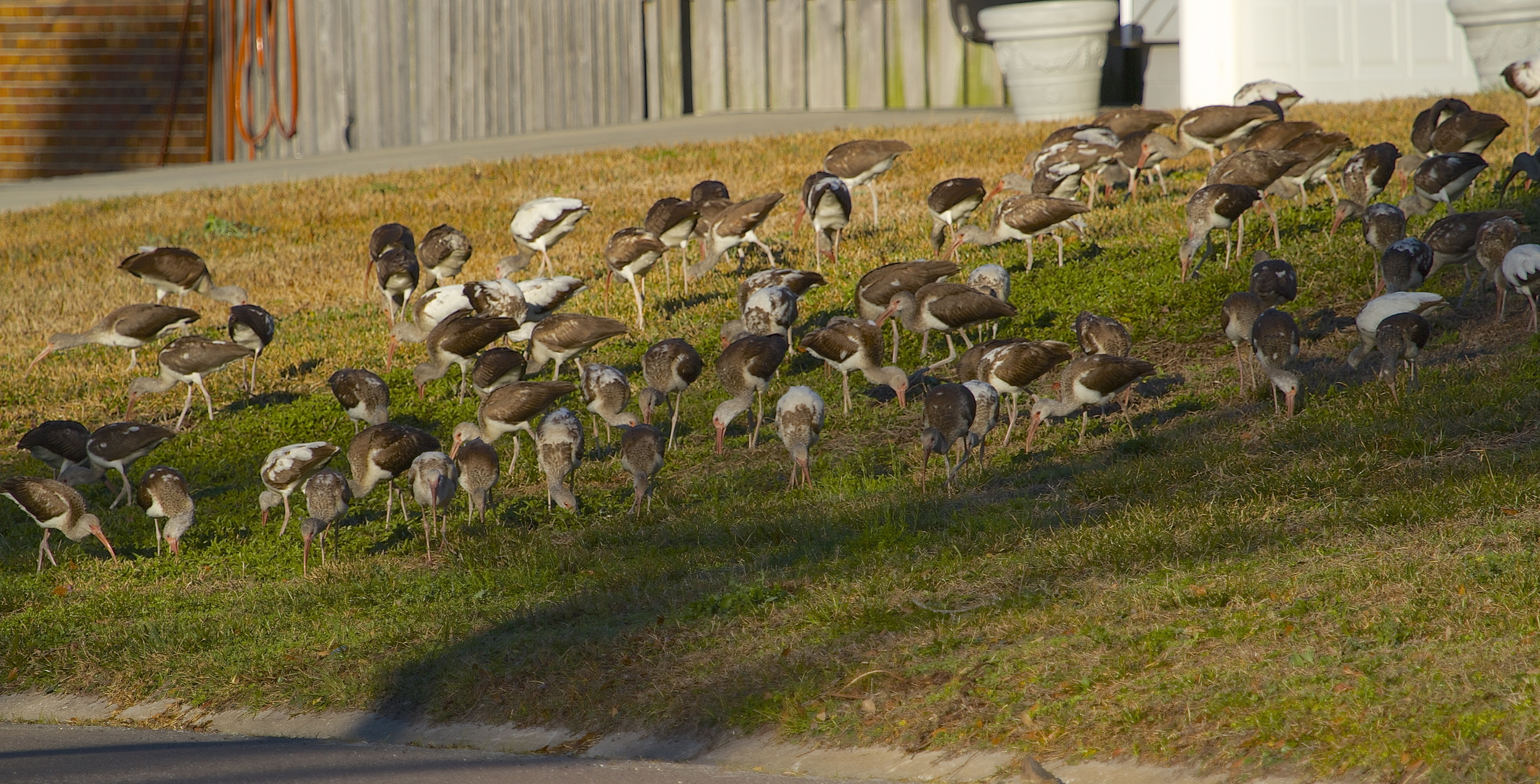 "A ""Feather Mob"" of immature White Ibis descends on the neighborhood lawns. Some flocks number over a hundred."