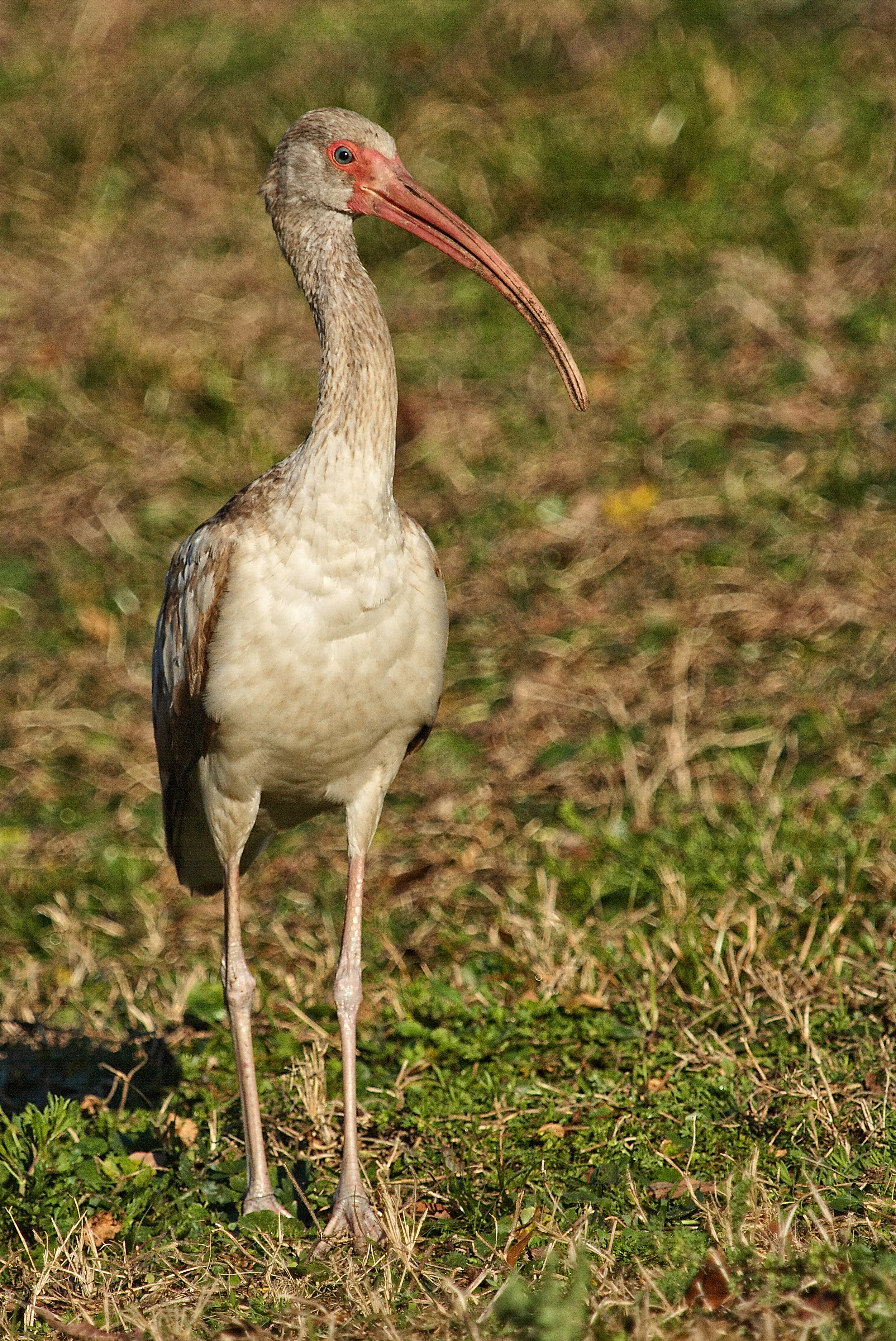 Immature White Ibis poses for a moment.