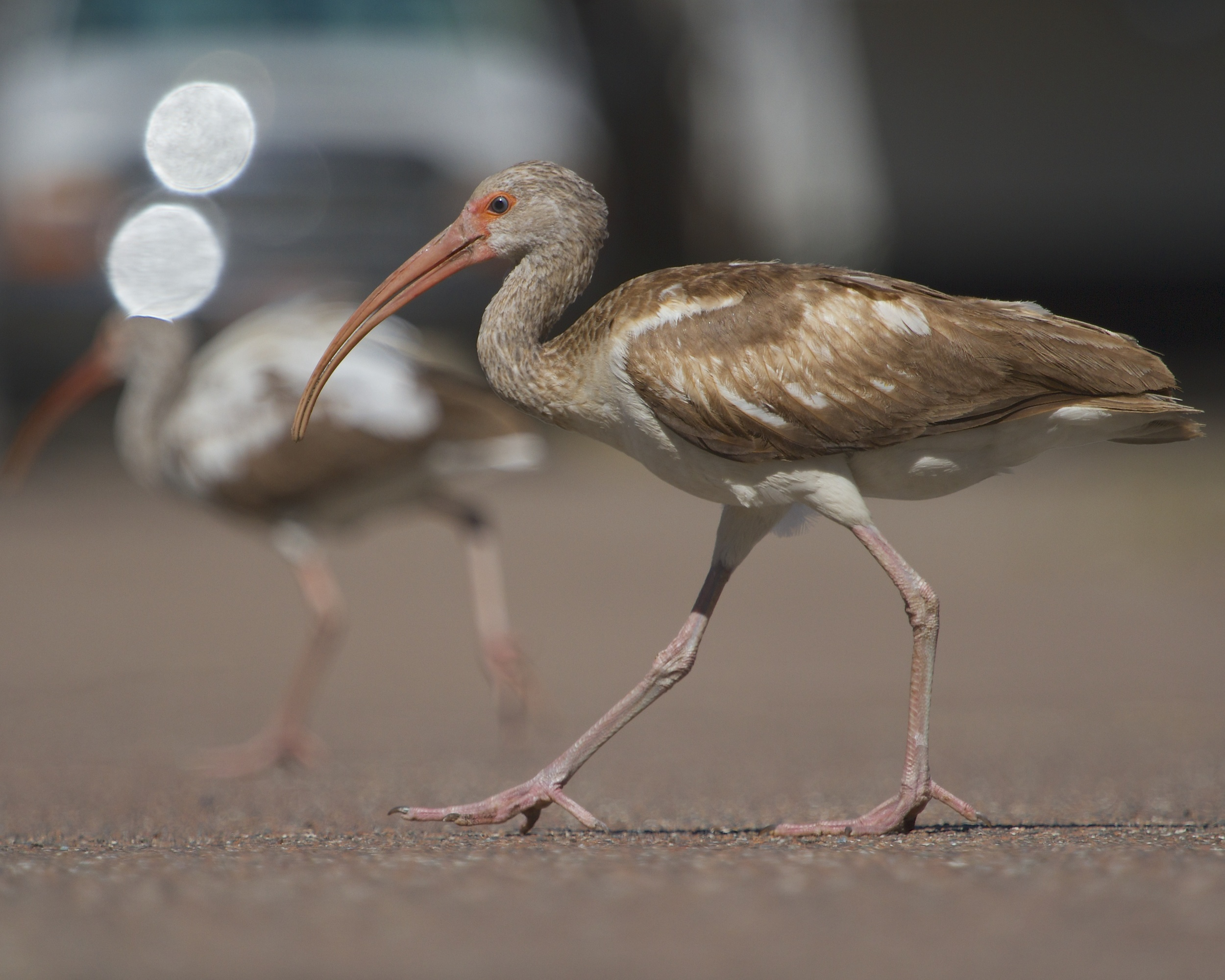 So why did the Ibis cross the road?    To see you of course!