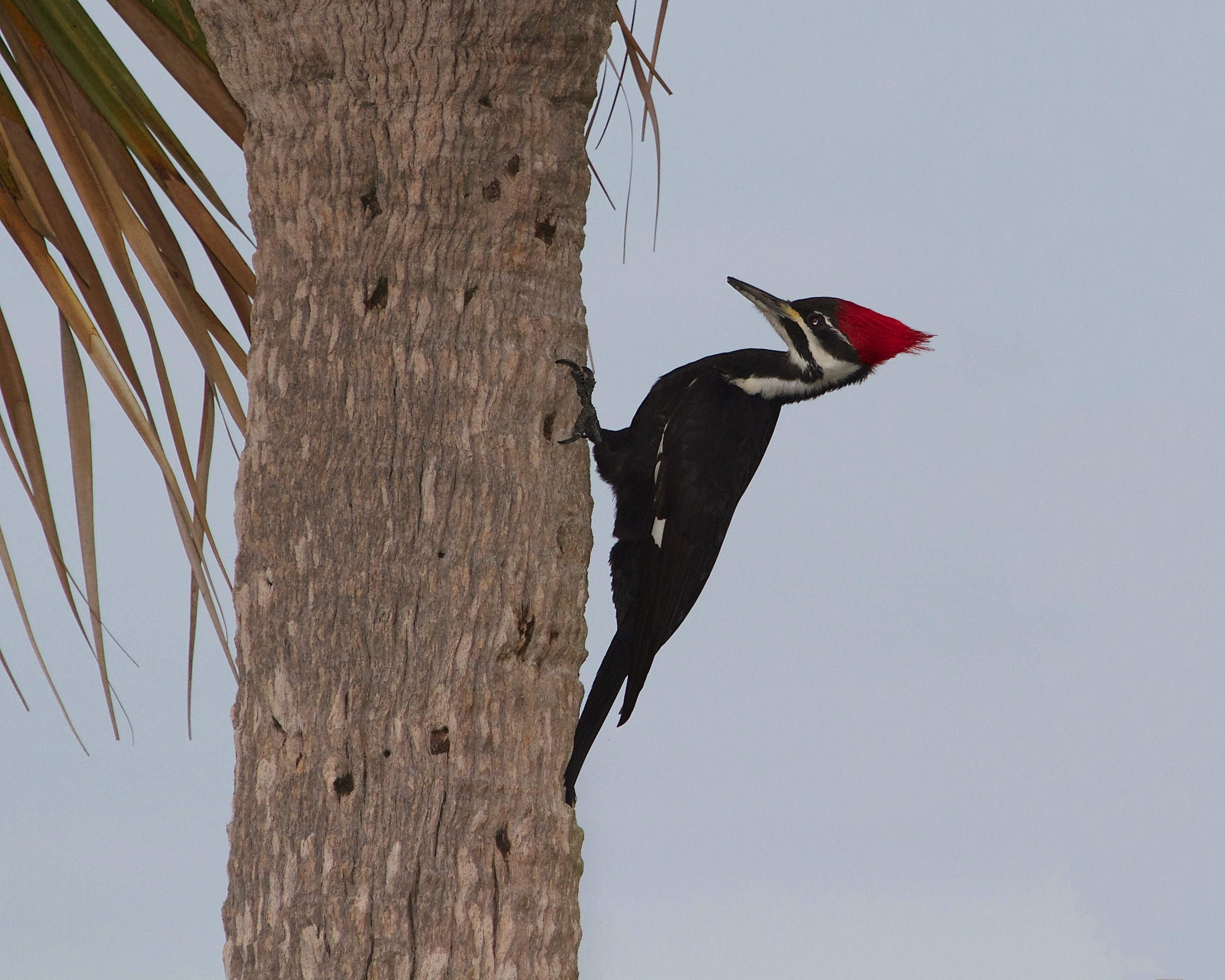 Female Pileated Woodpecker hunts for food, note the square like holes it leaves behind..