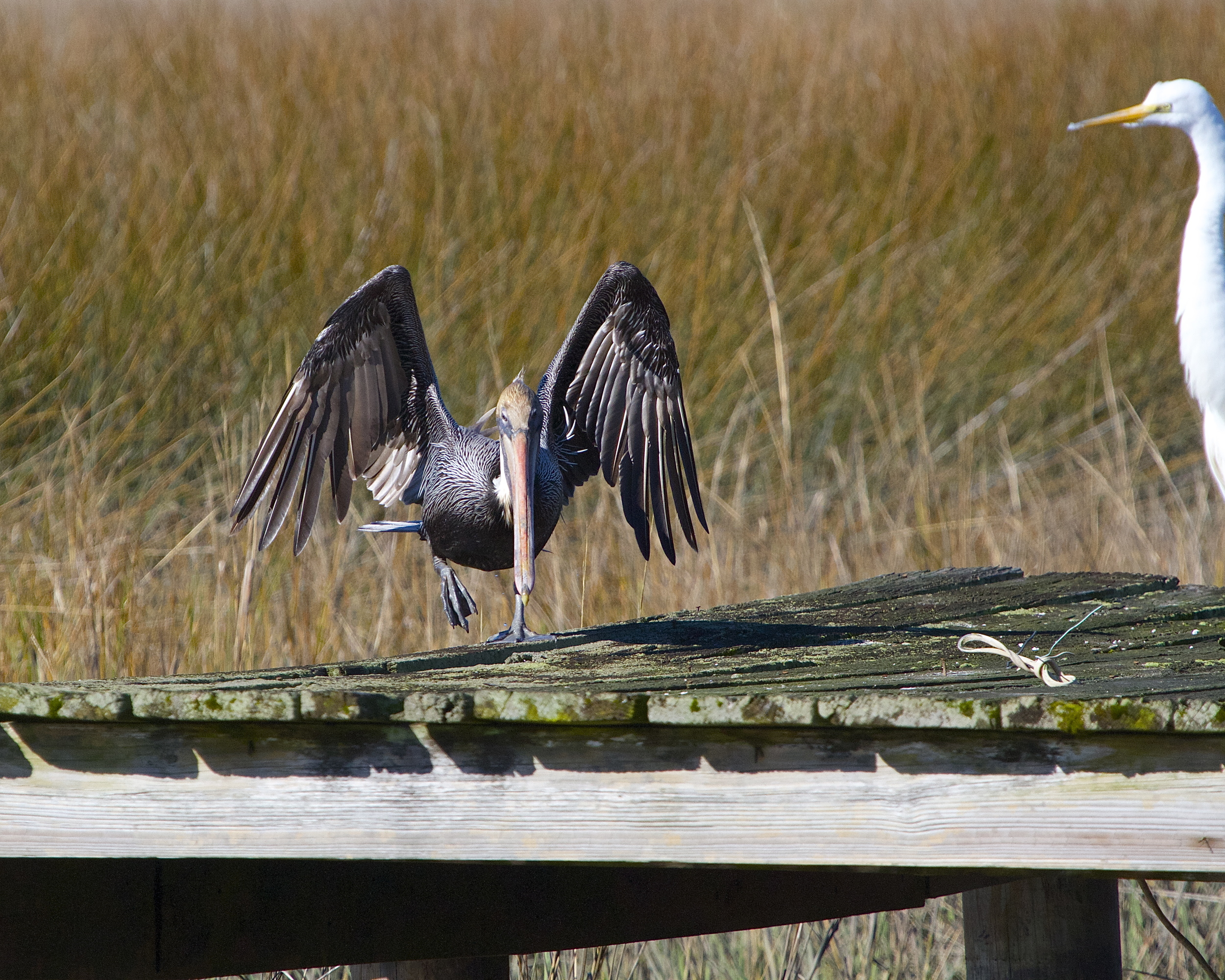 A Brown Pelican lands  under the wary eye of the Great Egret.
