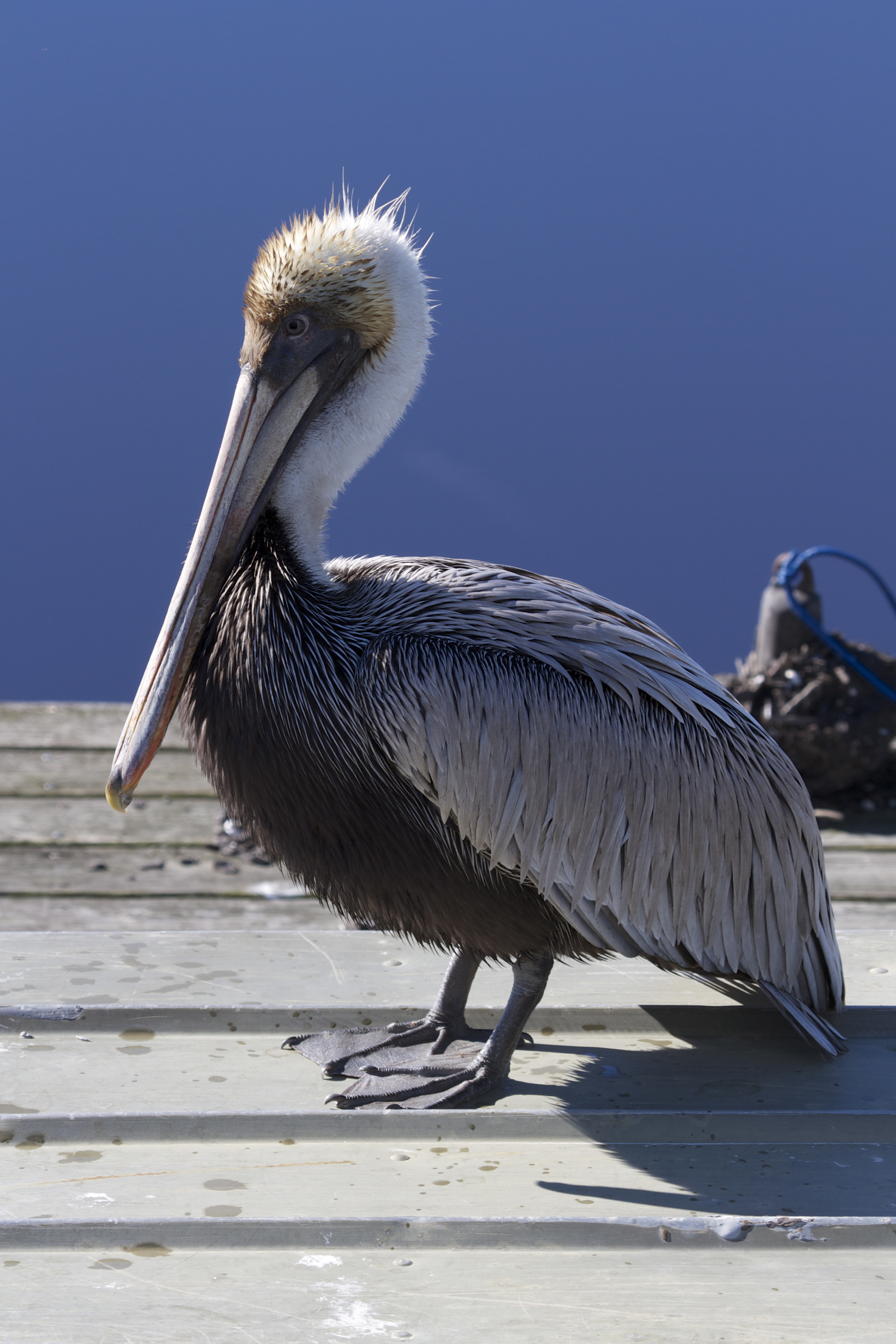 I find the Brown Pelican sitting on the Jon Boat...dejected looking..