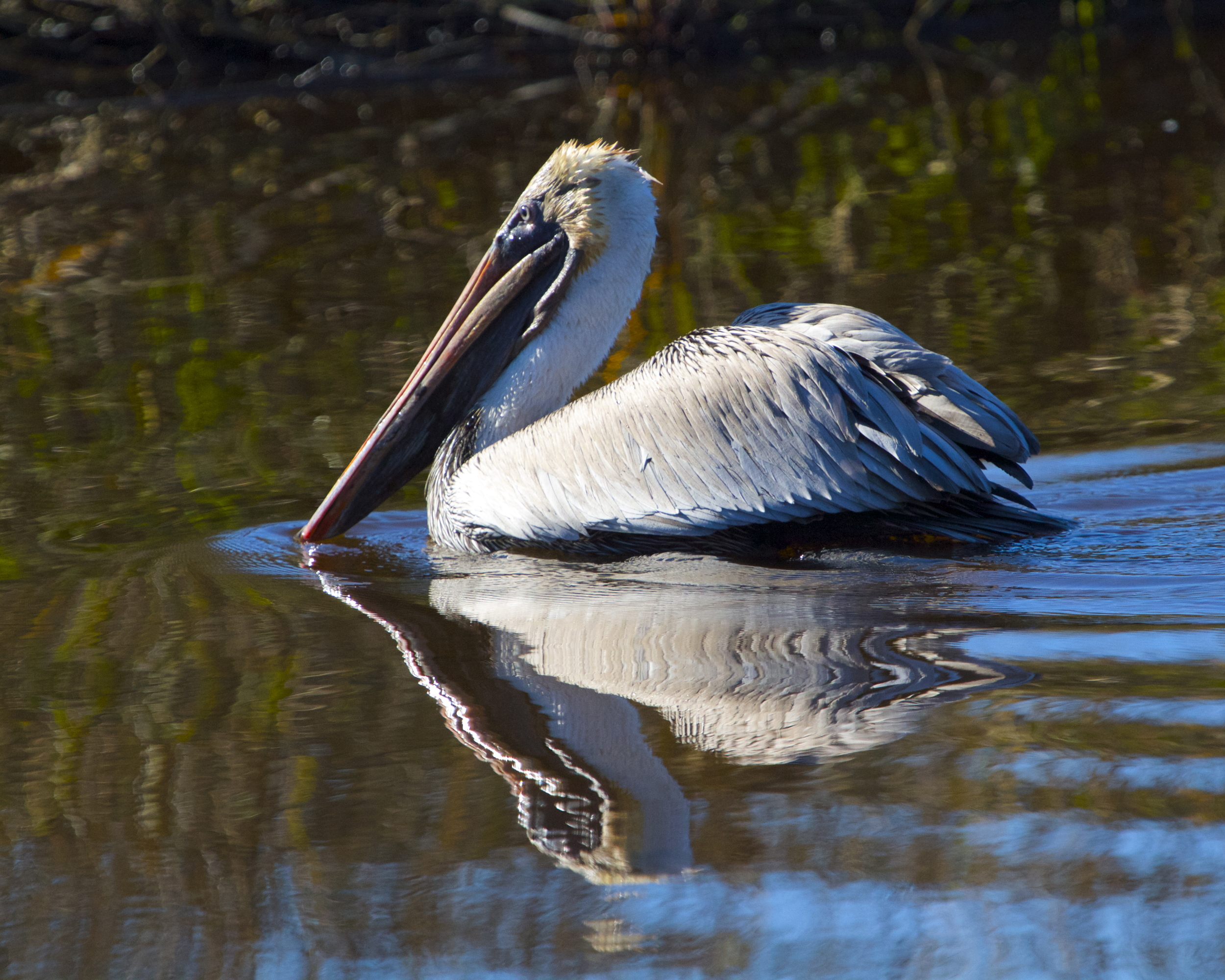 The Pelican plops into the river and swims away rejected..