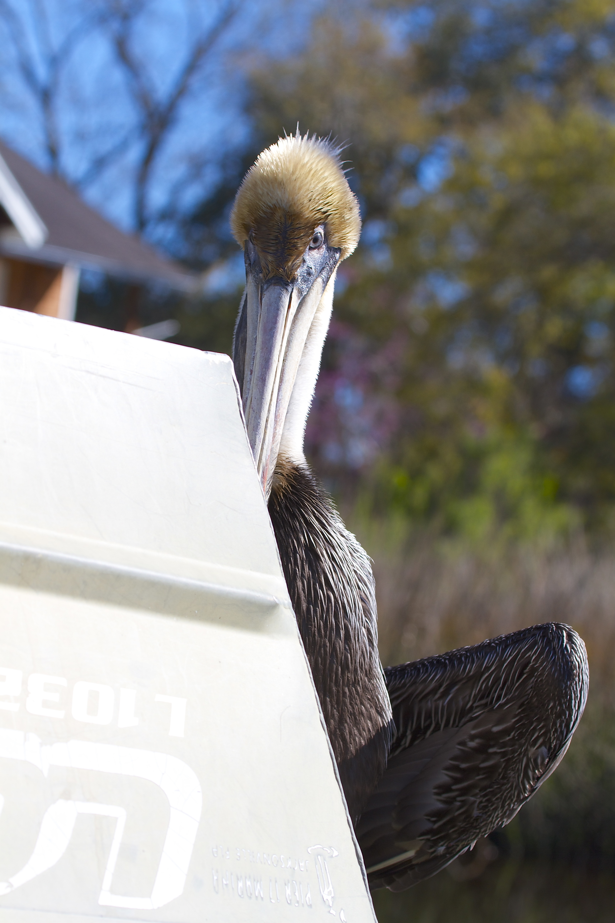 I assure the Pelican I mean no harm and it comes out from behind the Jon Boat..