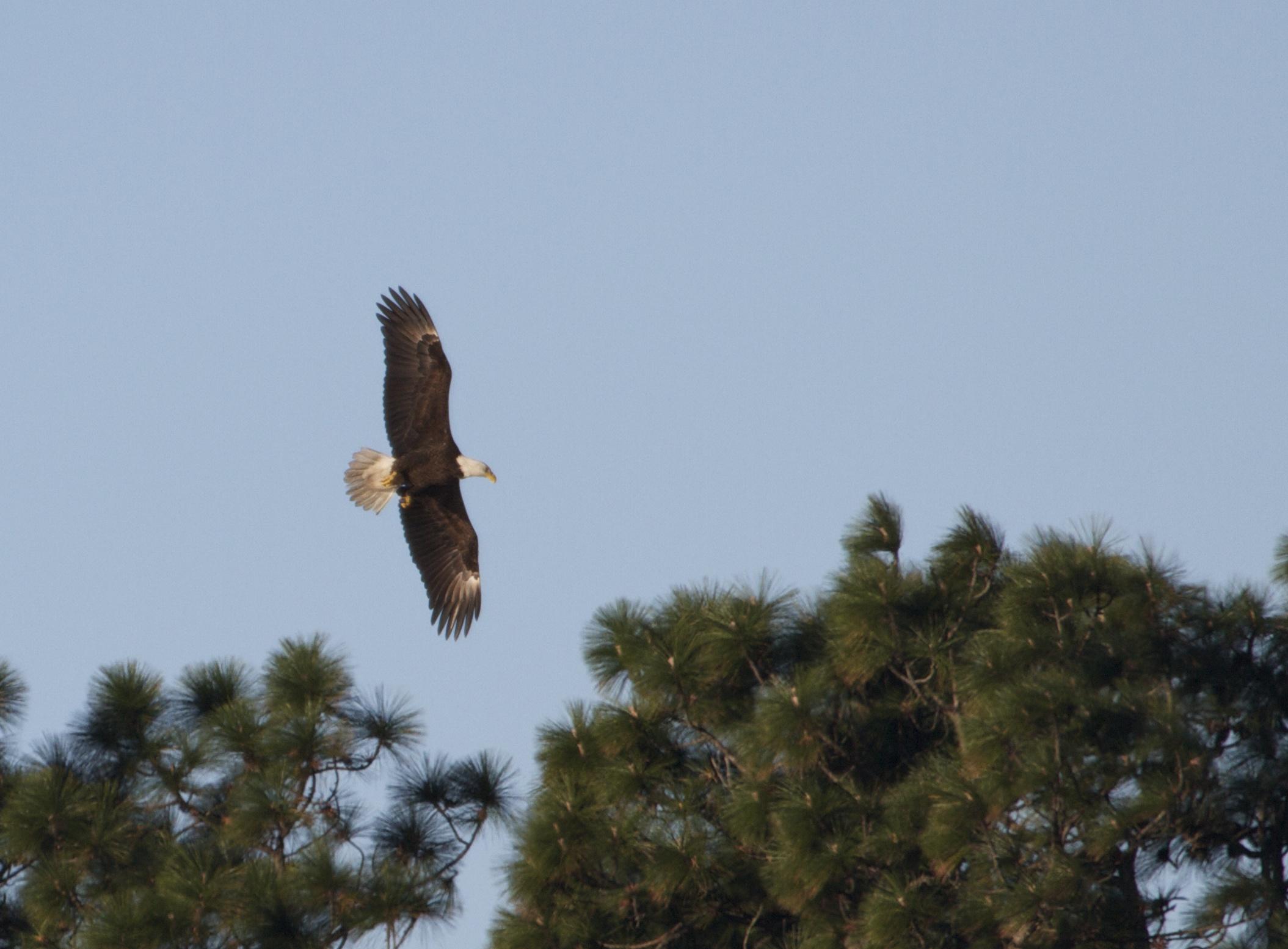 Bald Eagle on the Broward..