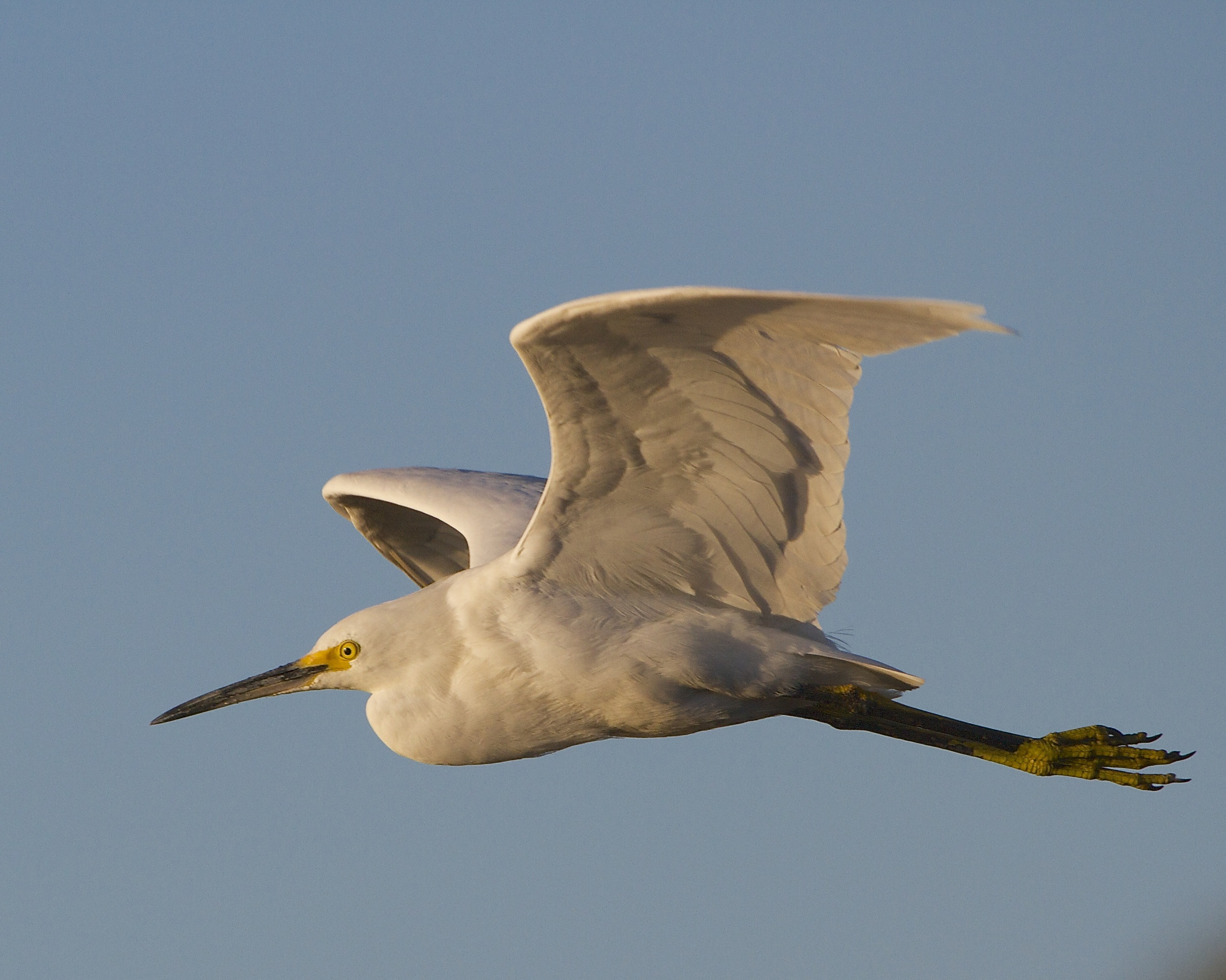 Snowy Egret fly by..