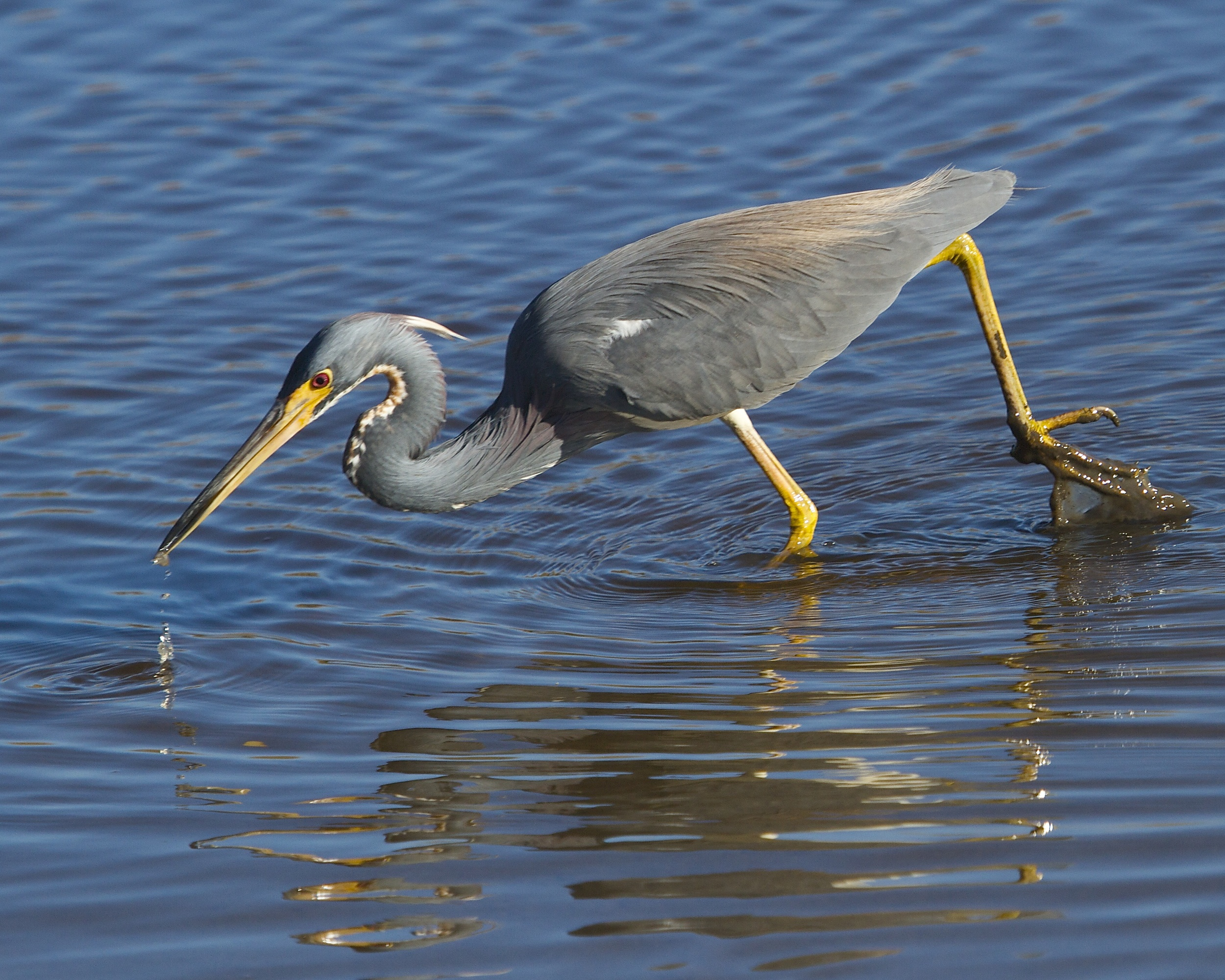 The Tricolored Heron enjoys an afternoon minnow snack.