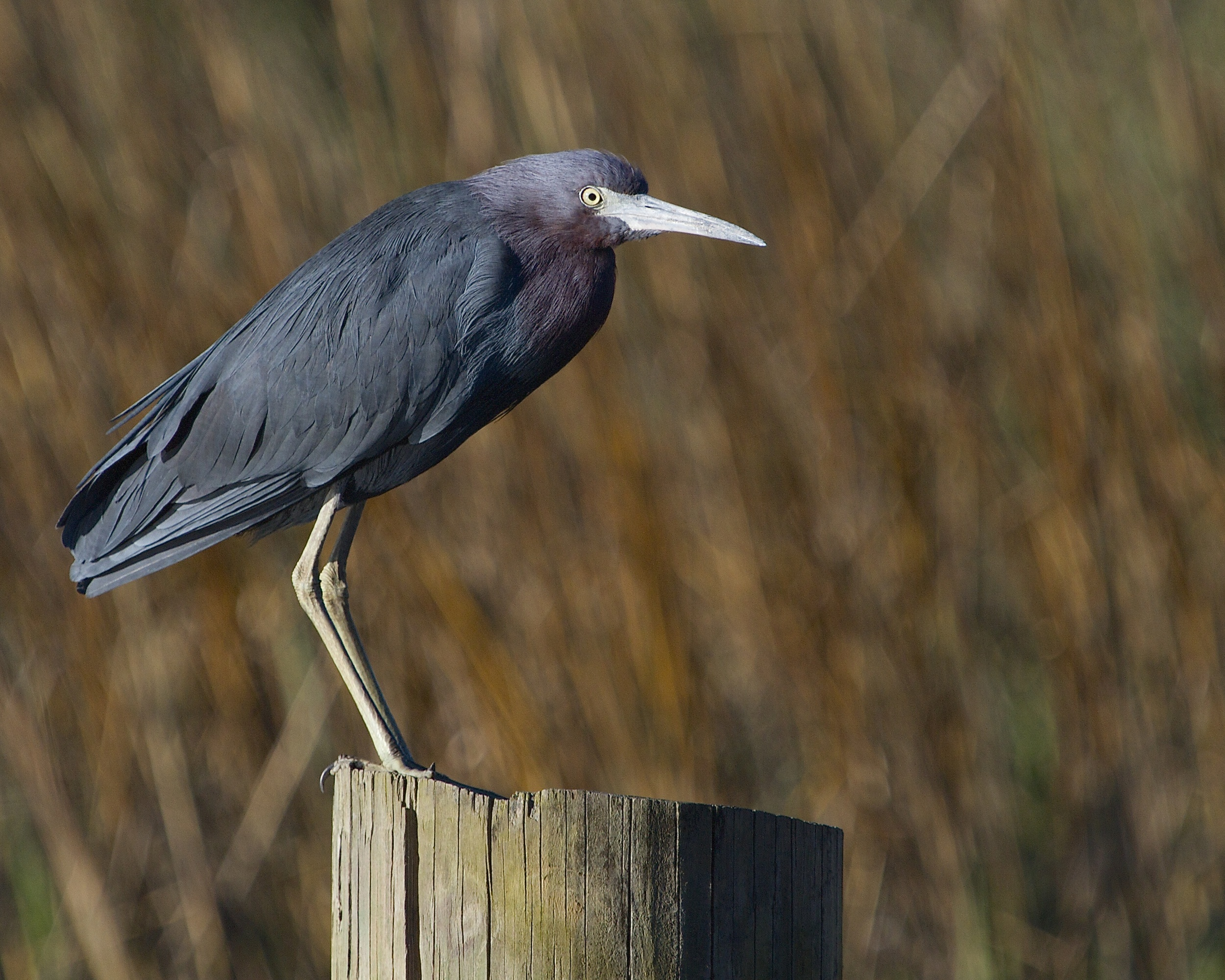 The Little Blue Heron is starting to show breeding colors..