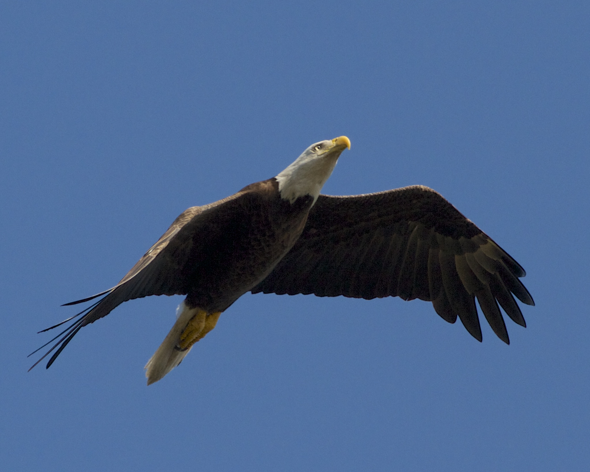 Now a majestic Bald Eagle soars over me on the dock!