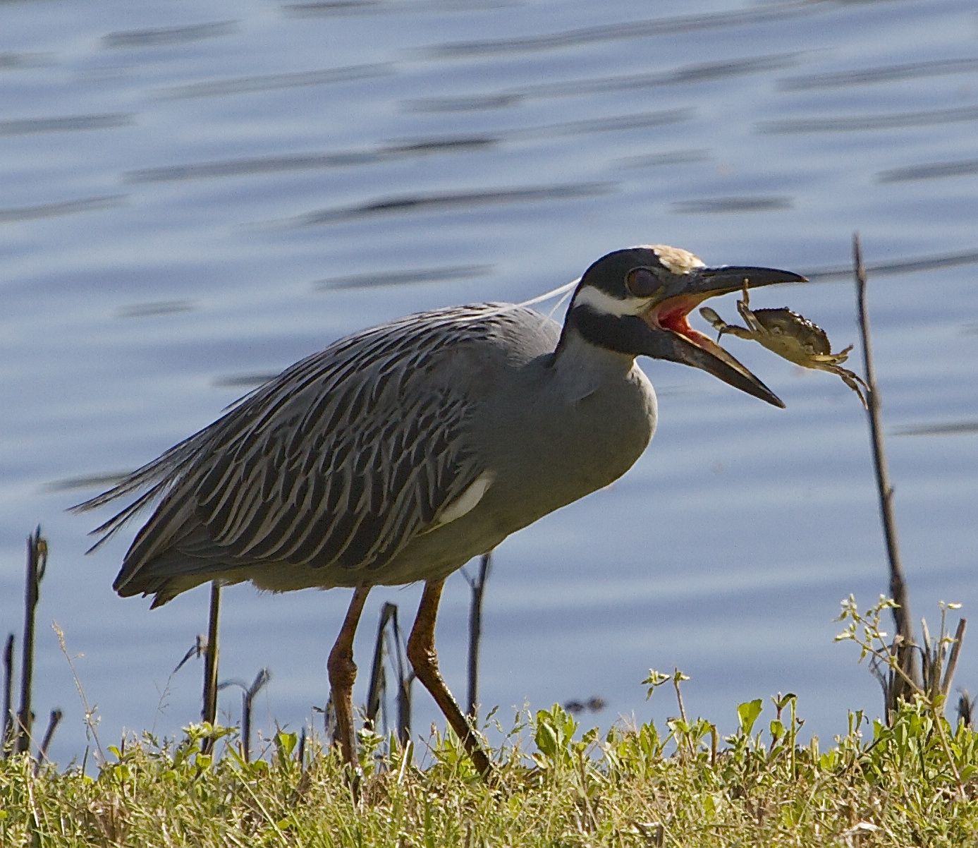 George, the Yellow Crowned Night Heron enjoys a Crab sandwich.