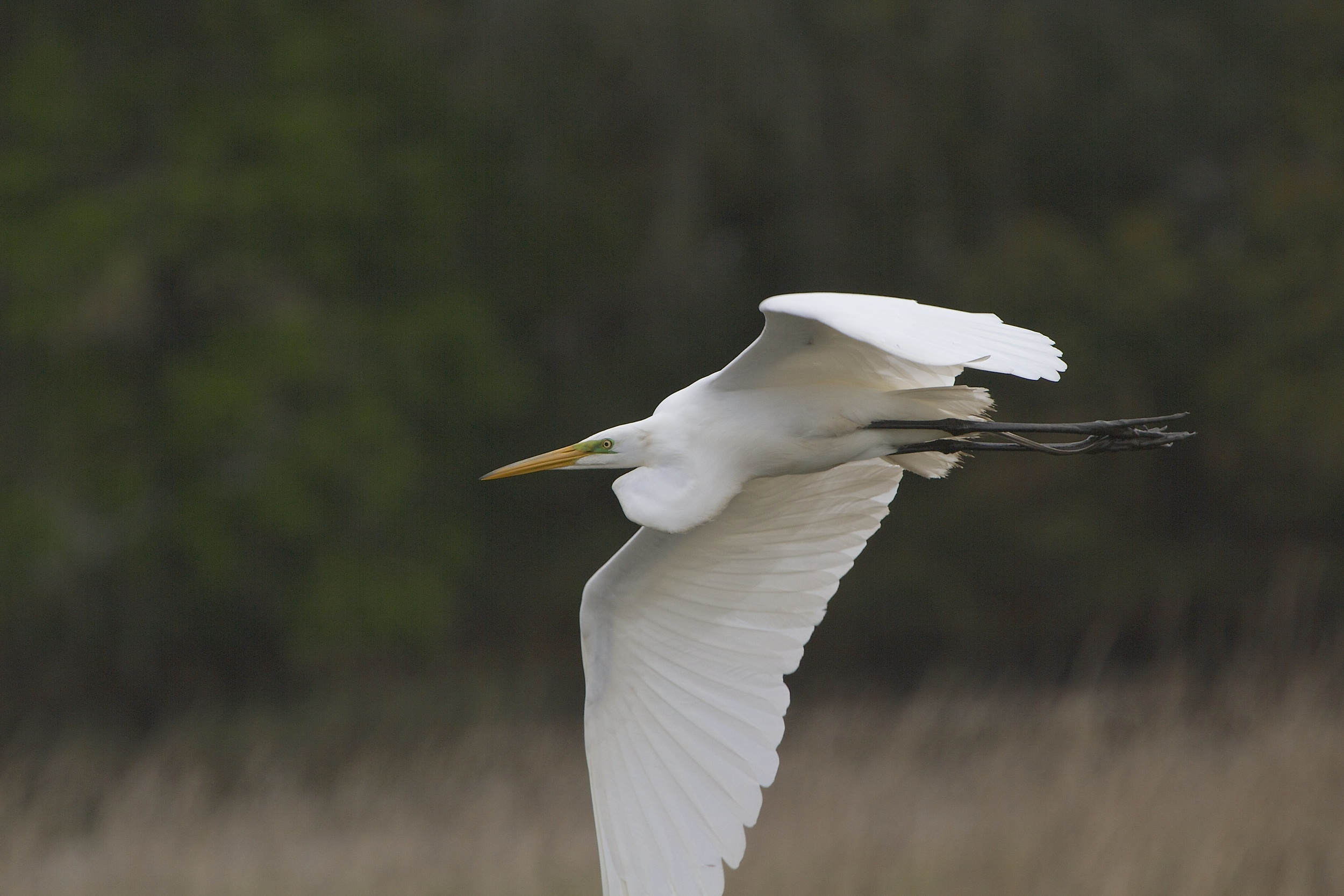 The Great Egret is showing breeding colors of Green around the eyes.