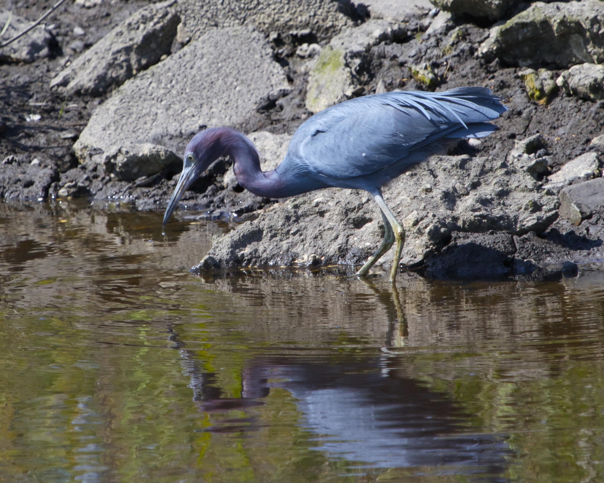 The Little Blue Heron's beak is also turning breeding blue.
