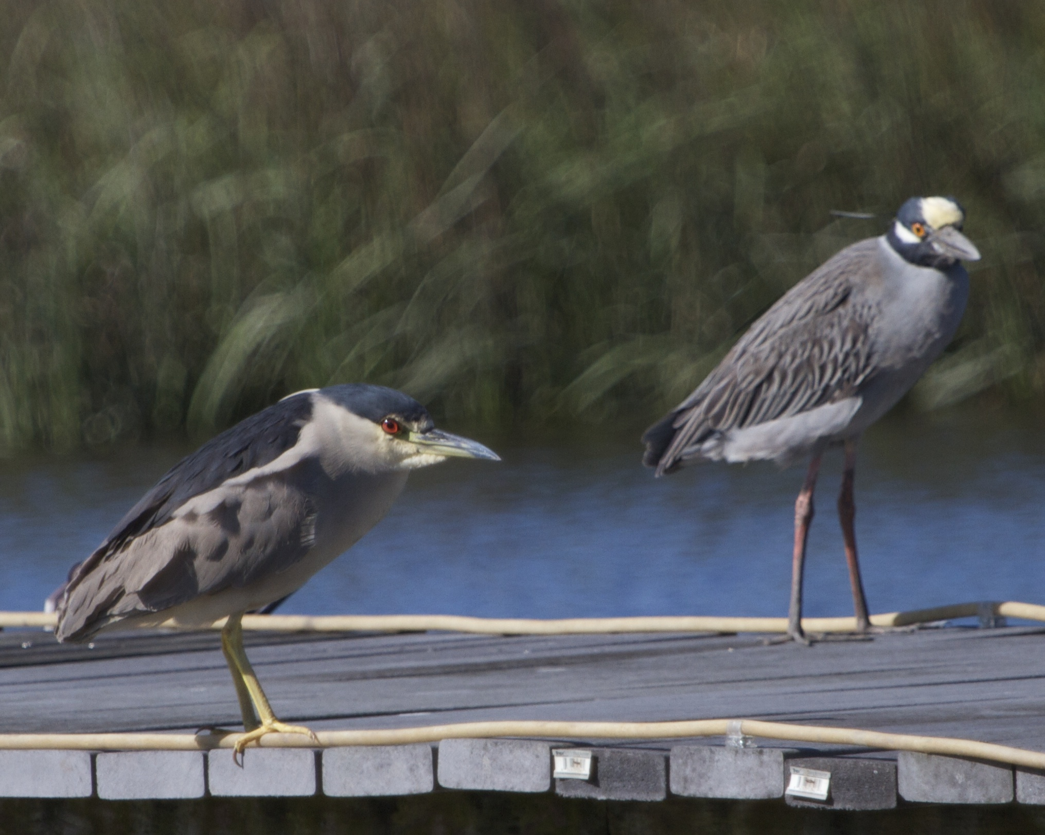 Mature Black Crowned (foreground) and Yellow Crowned Night Heron (Aka George)  discuss the evenings adventures.