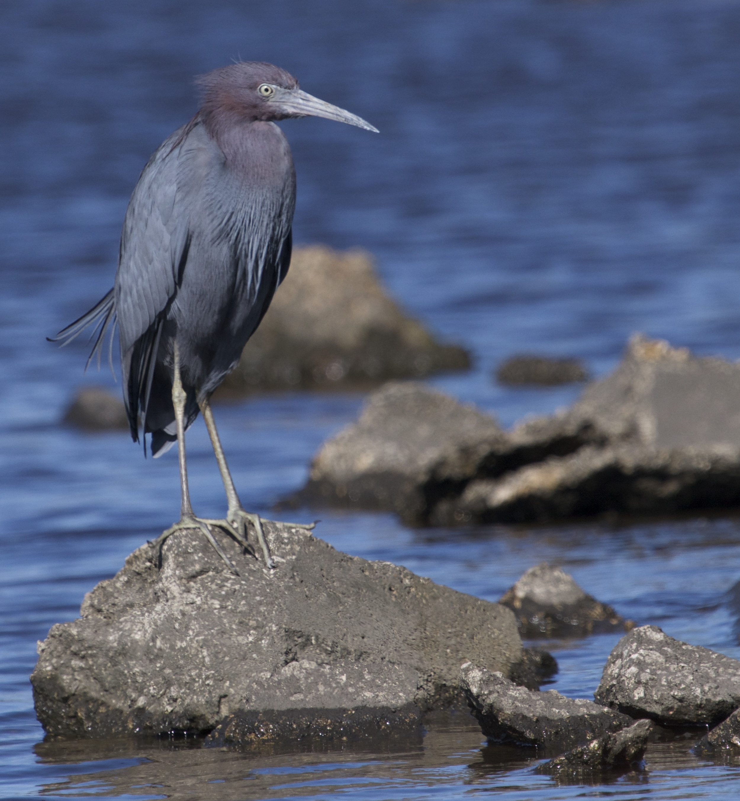 Little Blue Heron is showing blue beak breeding color also.