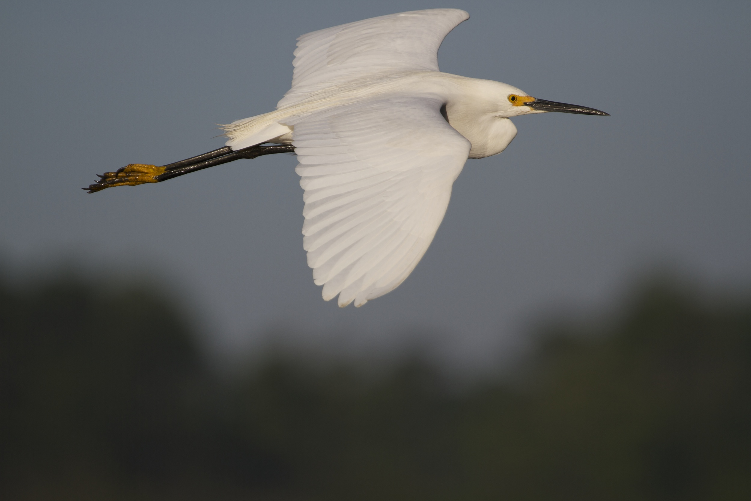 Snowy Egret beginning to show black on the legs,,,!