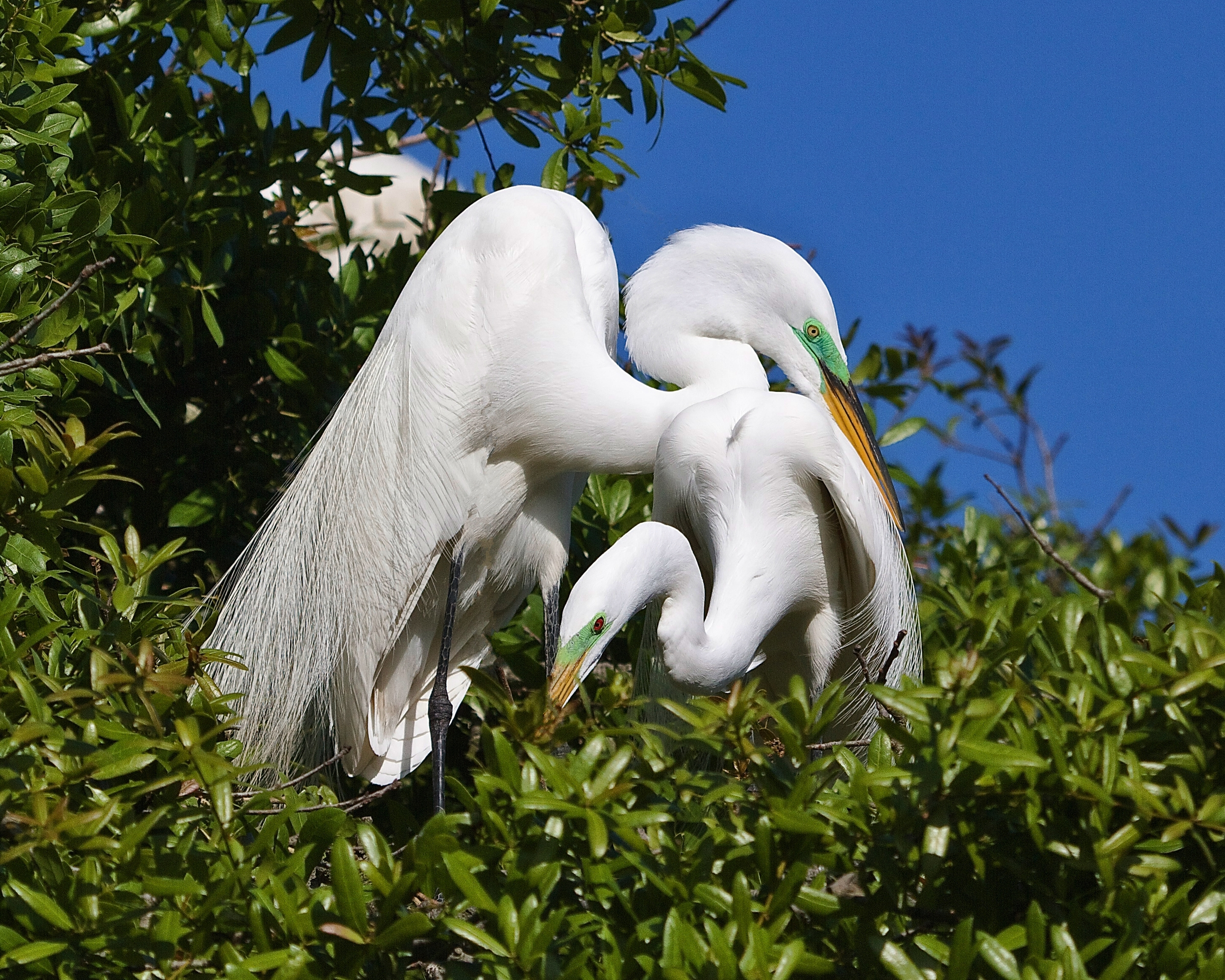 Spring is definitely in the air on the Great Egret Nests