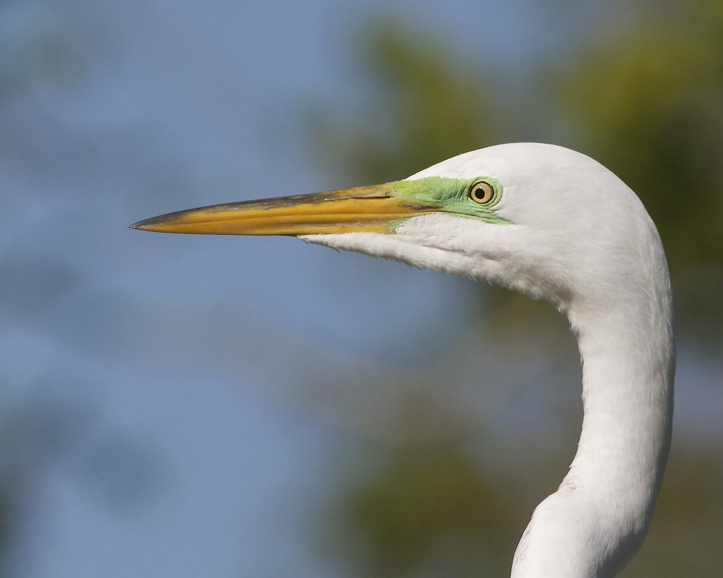 Great Egret eyes show the green mating colors