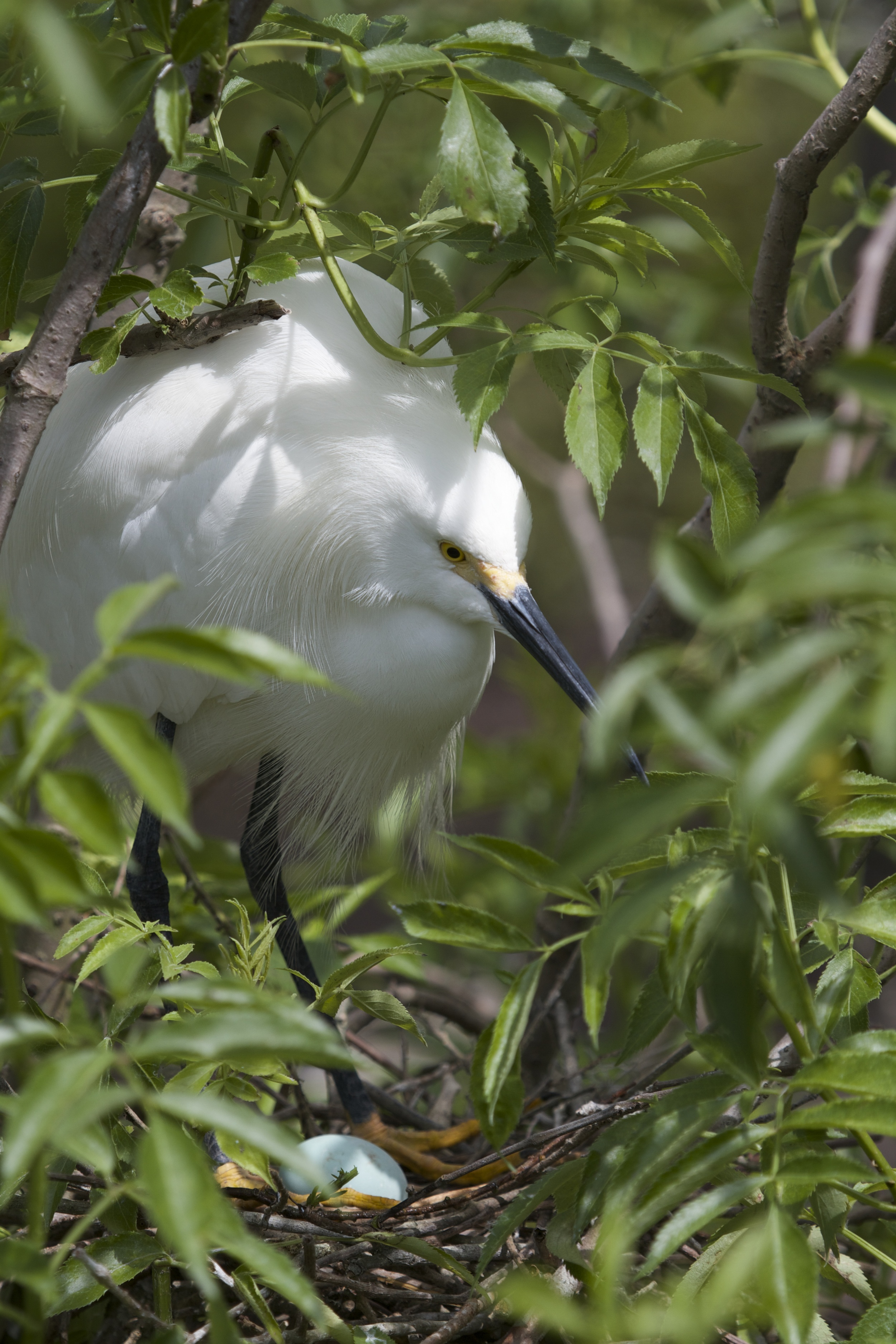 A New Generation waiting to be born! Snowy Egret on nest.