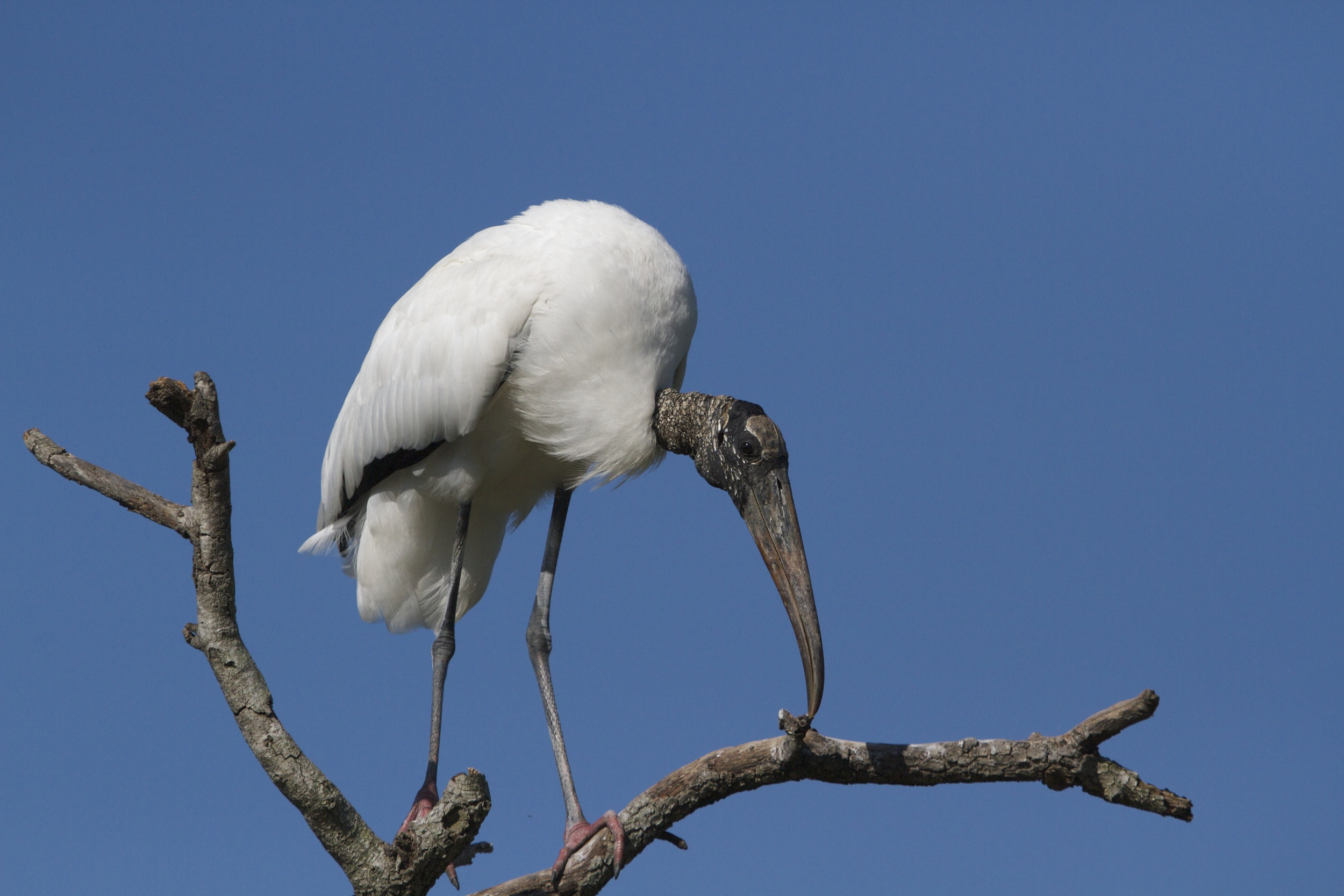 The Wood Stork may not be pretty to some eyes to behold…but wait till you see it fly..