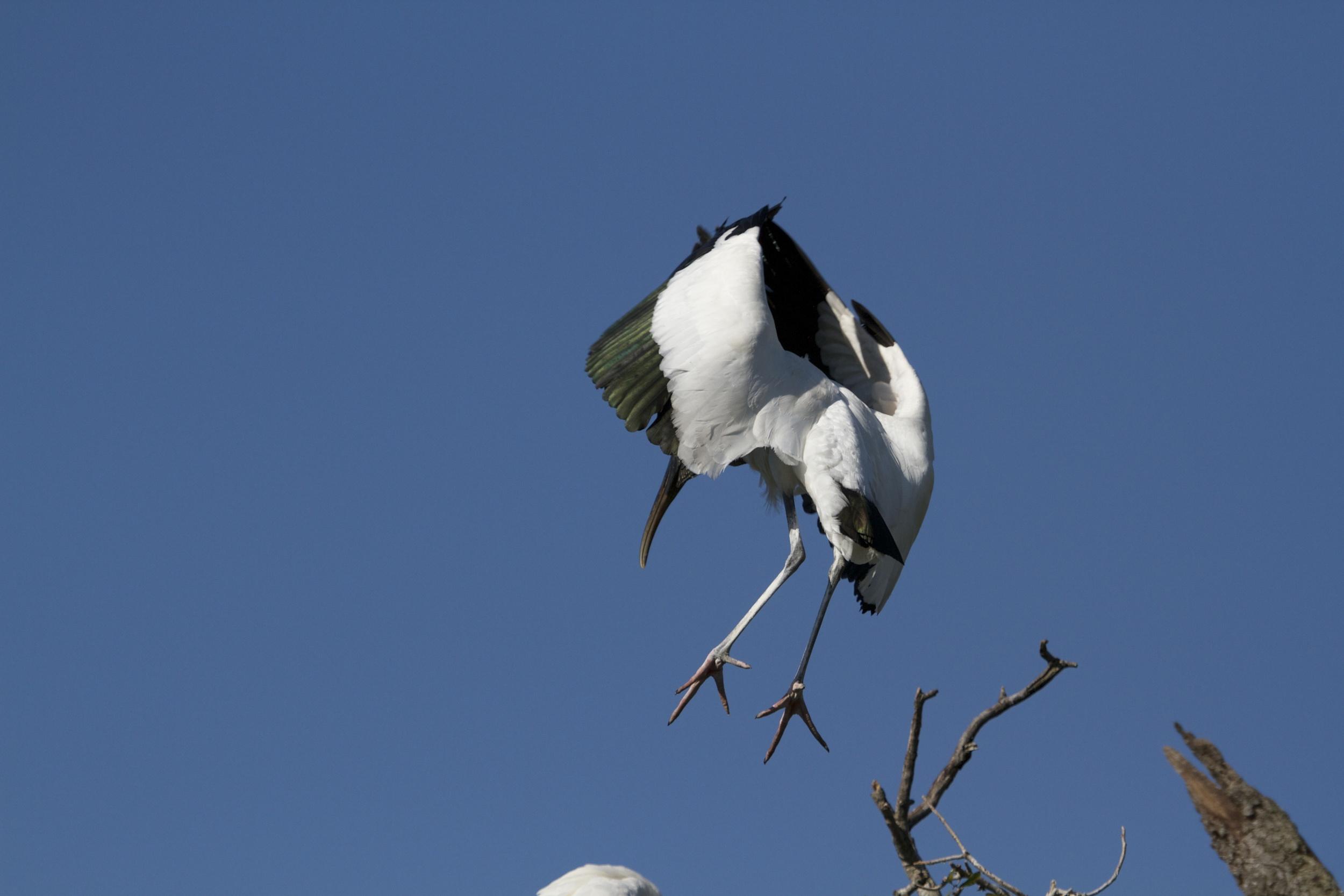 Nest in sight. Full Flaps..descending..