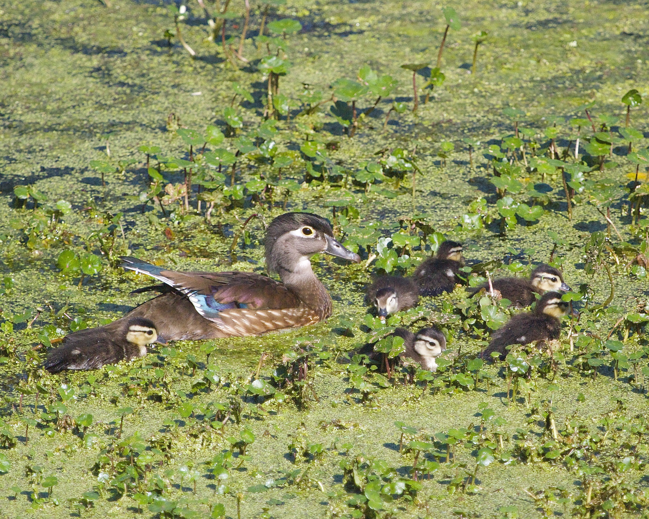 Pretty Wood Duck female with six cute ducklings..my first Wood Duck ! Now to find the male...
