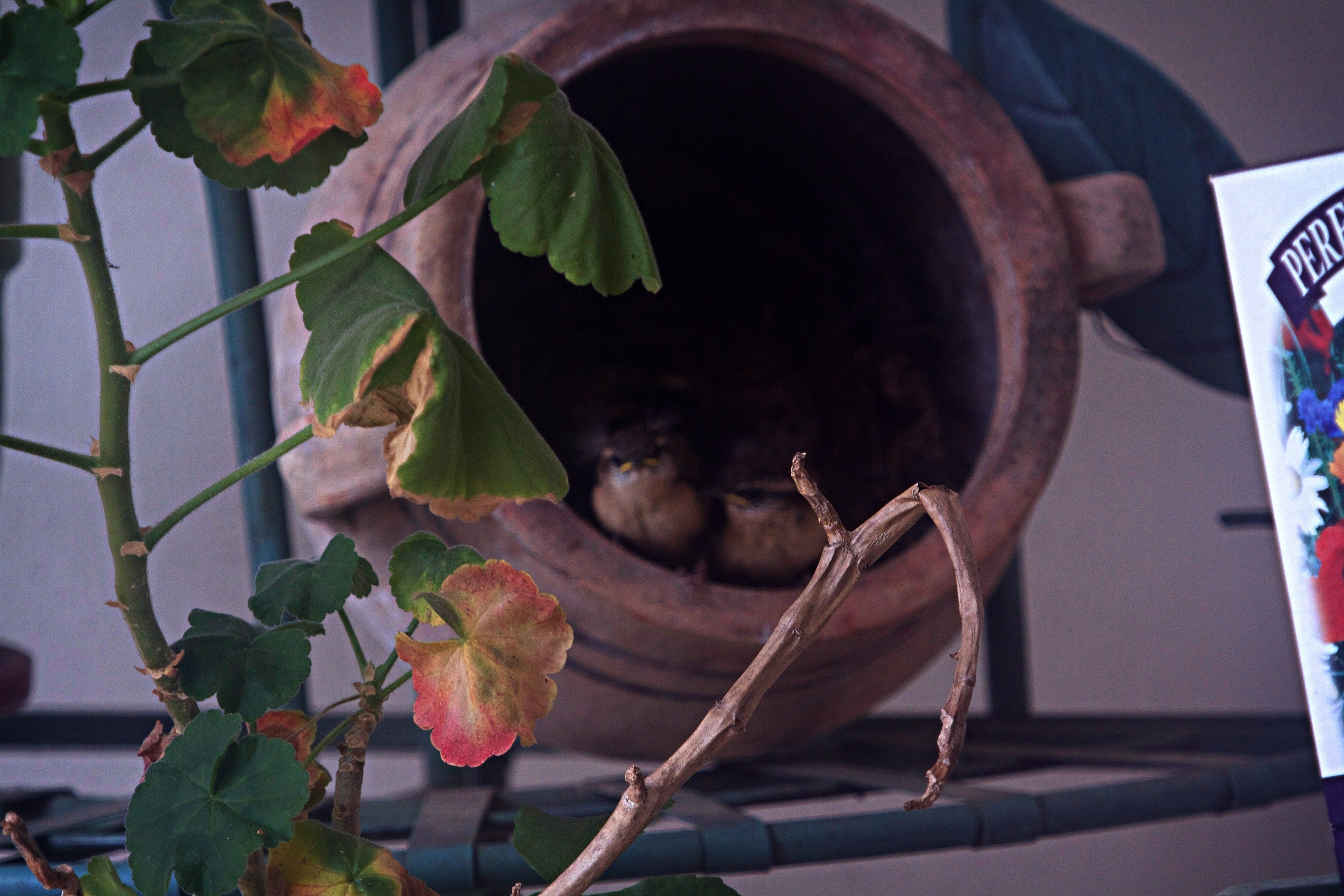 On Sunday, Mothers Day I saw the little wrens start to leave the nest. These two I call Orville and Wilber are the last to go.