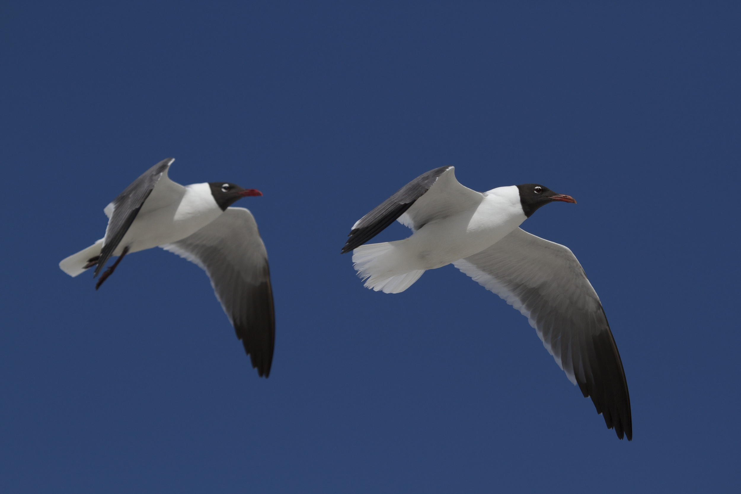 Laughing gulls guard their nests and also look for others upon which to prey.