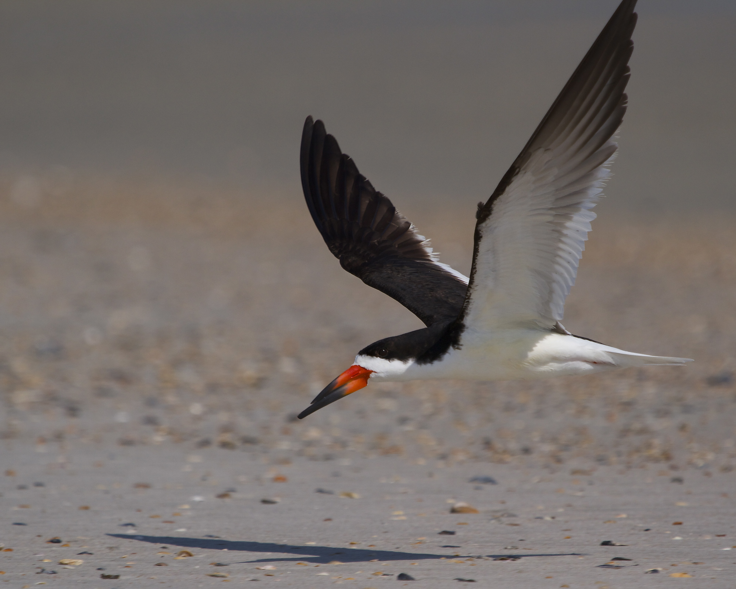 Black Skimmer hurries back to the nest after a quick morning bath.