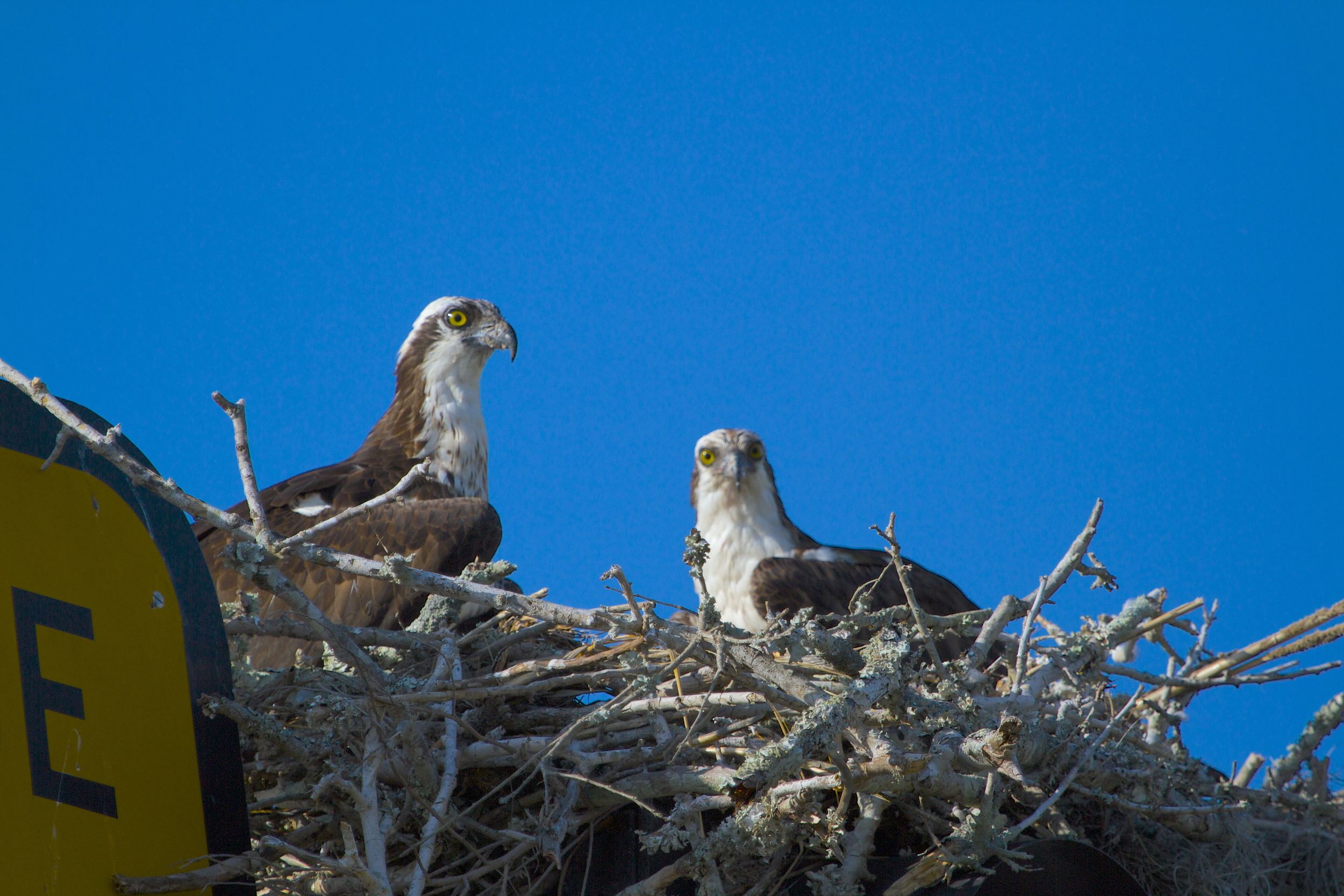 These Osprey are determined to stay in spite of the dangers..and cars below..