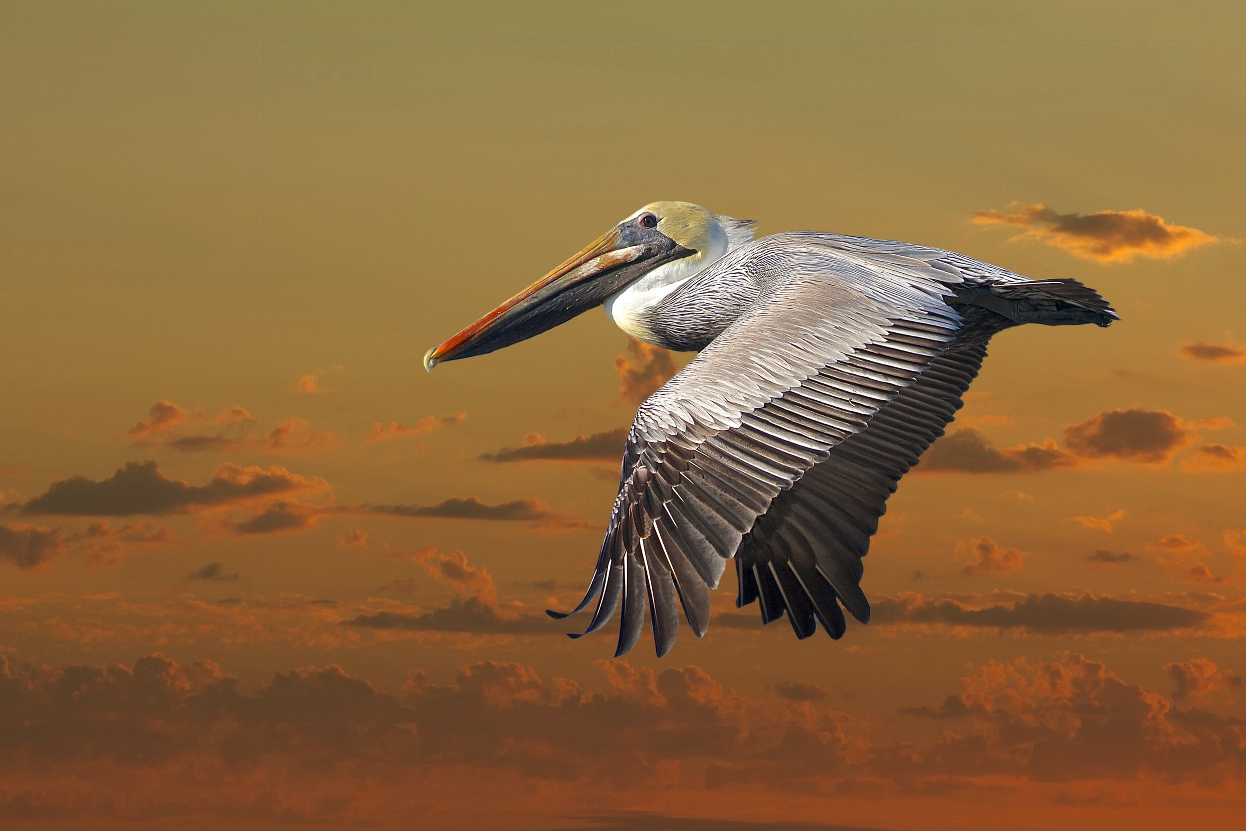 For this one I took a photo of a Pelican against a clear blue sky and replaced the blue with another photo of a sunset for a completely different effect.