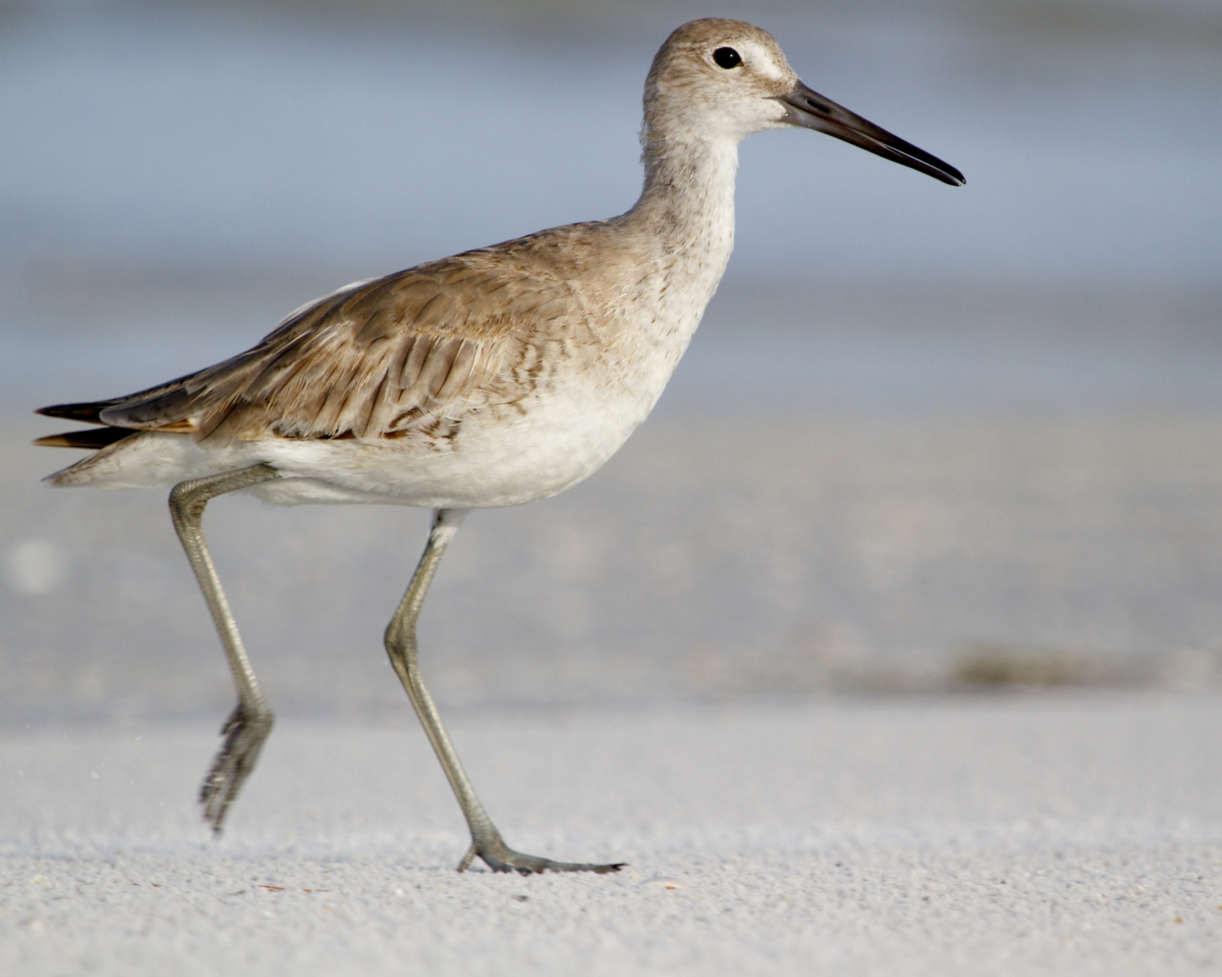 A Willet strolls the beach...