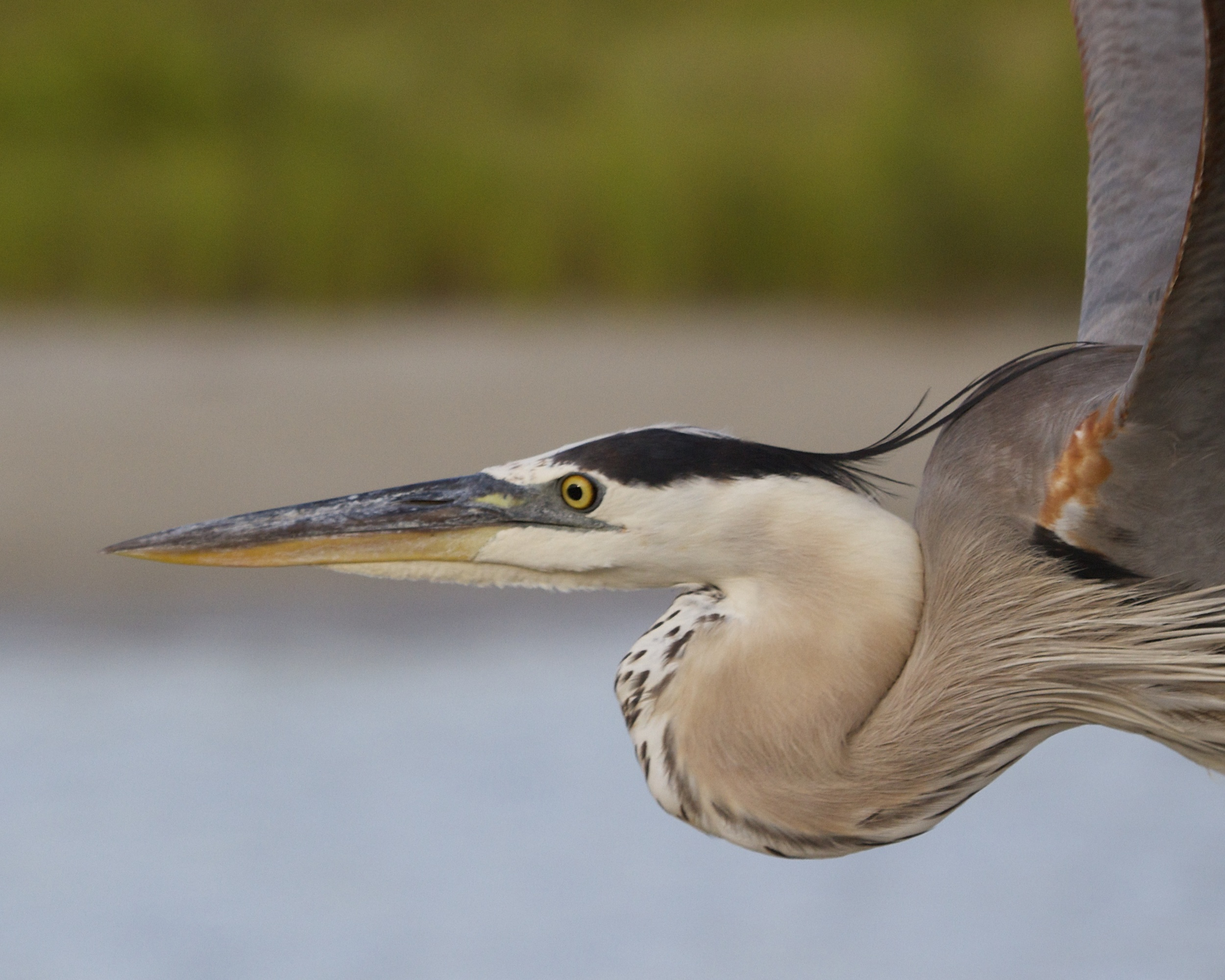Great Blue Heron profile in close flight
