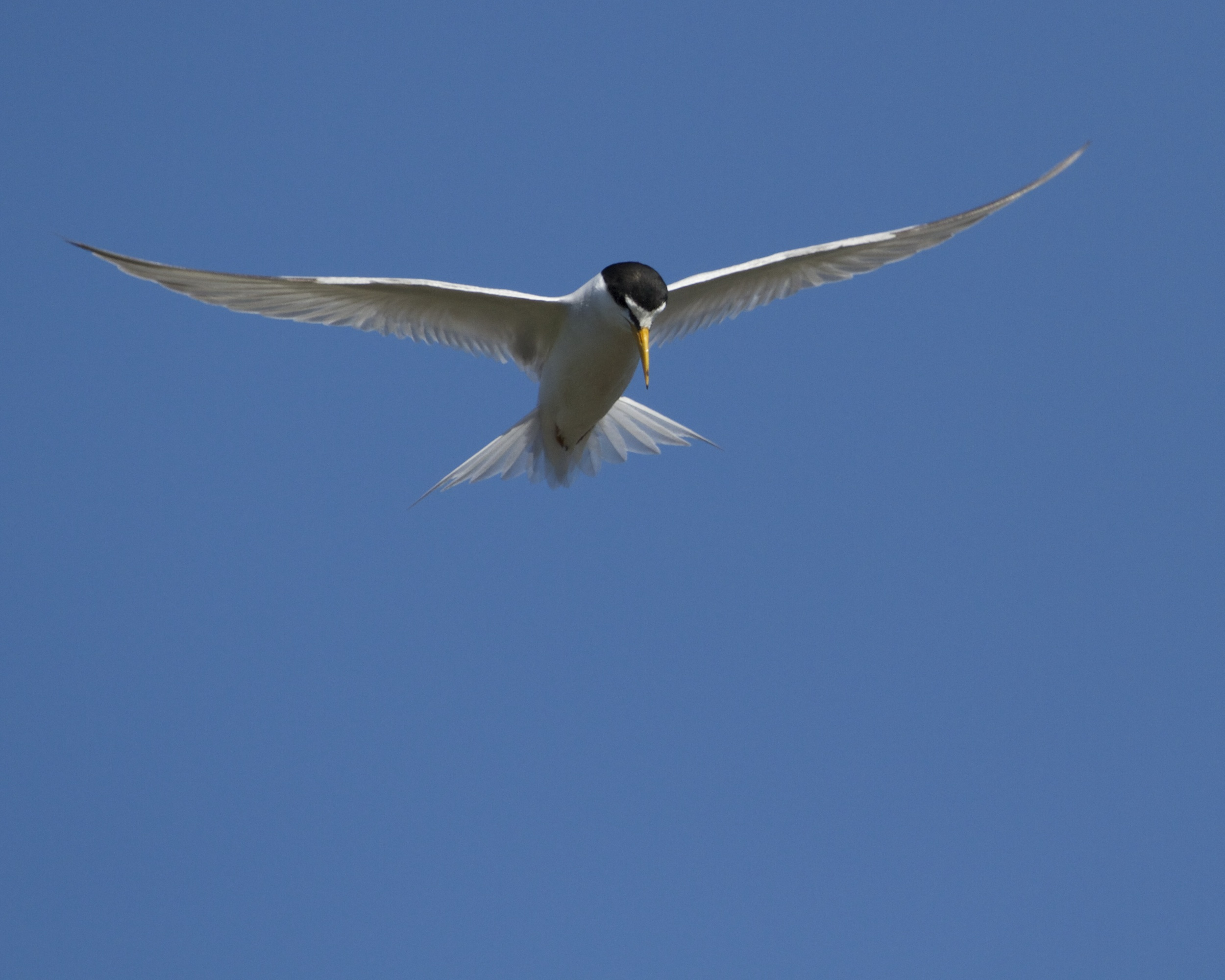 Least Tern hovers over the surf zone looking for fish!