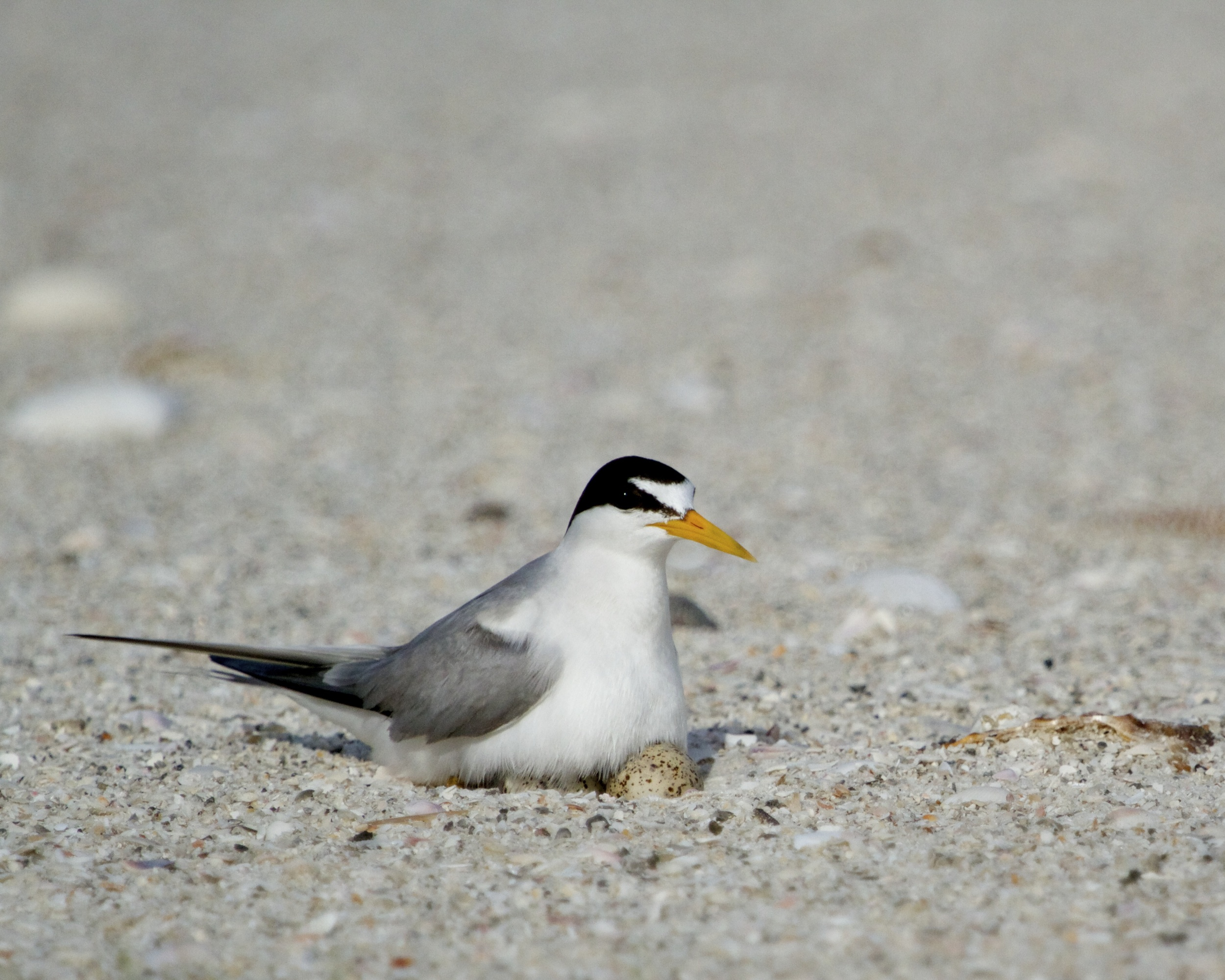 Nesting Least Tern returns to the eggs after giving us the evil eye!