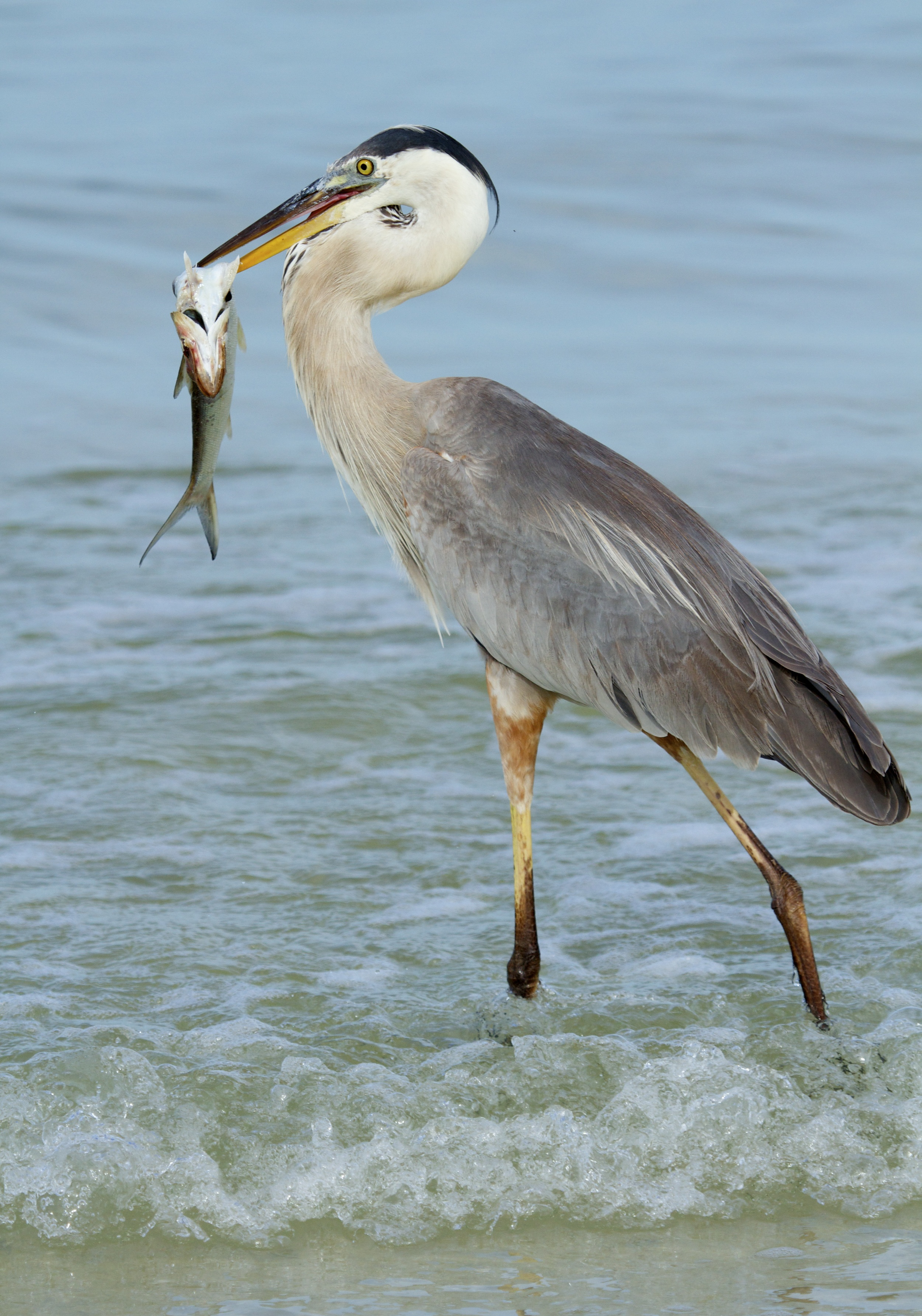 The Great Blue Heron captures breakfast in the surf..
