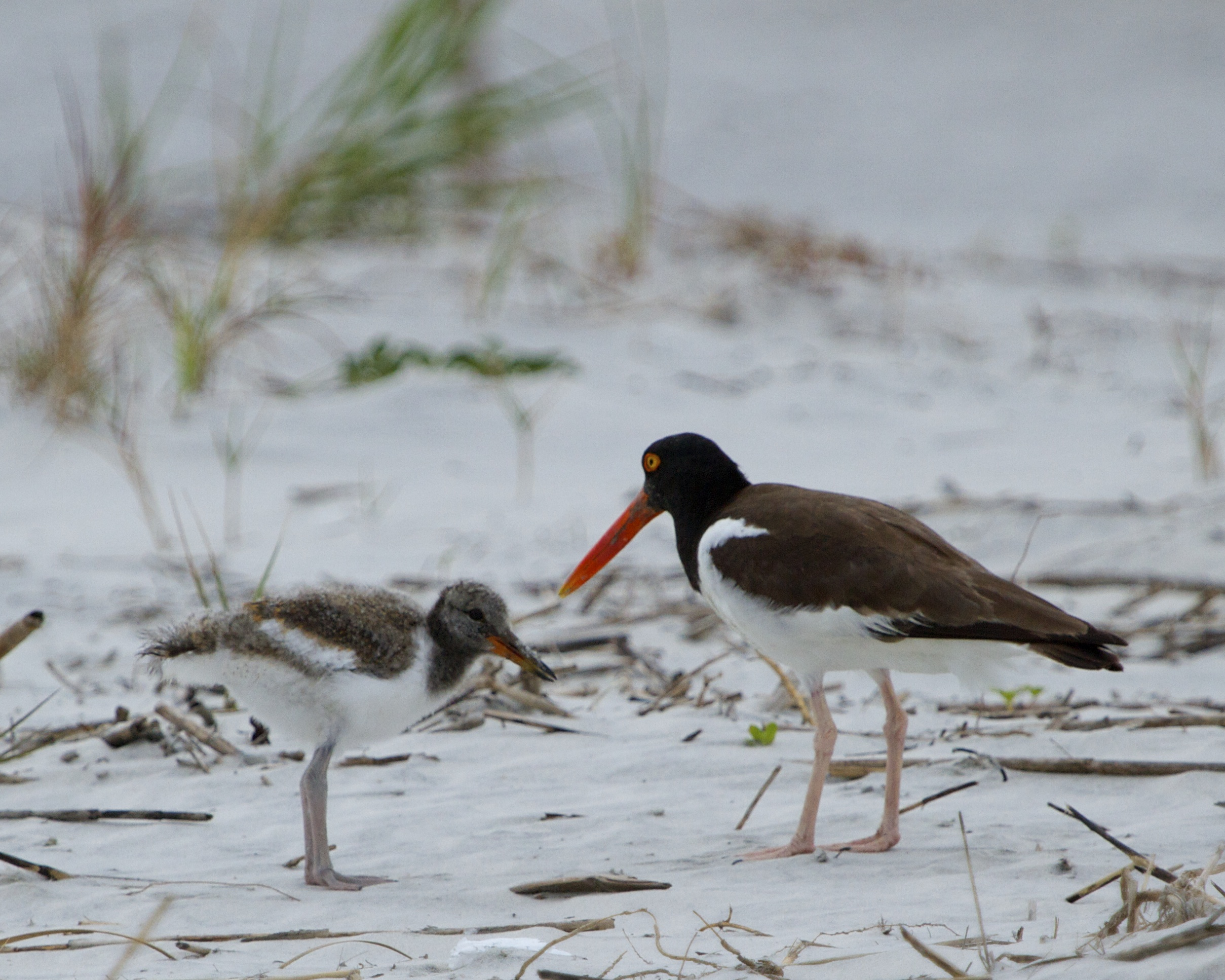 Remember the Oystercatcher Hatchling?  it is growing like a weed and sticking close to the parents (sometimes).