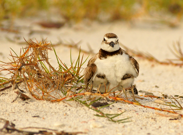 """  He shall cover you with his feathers, and under his wings though shalt trust ""  Wilsons Plover with two chicks under its wings…Photo by Jack Rogers with permission,"