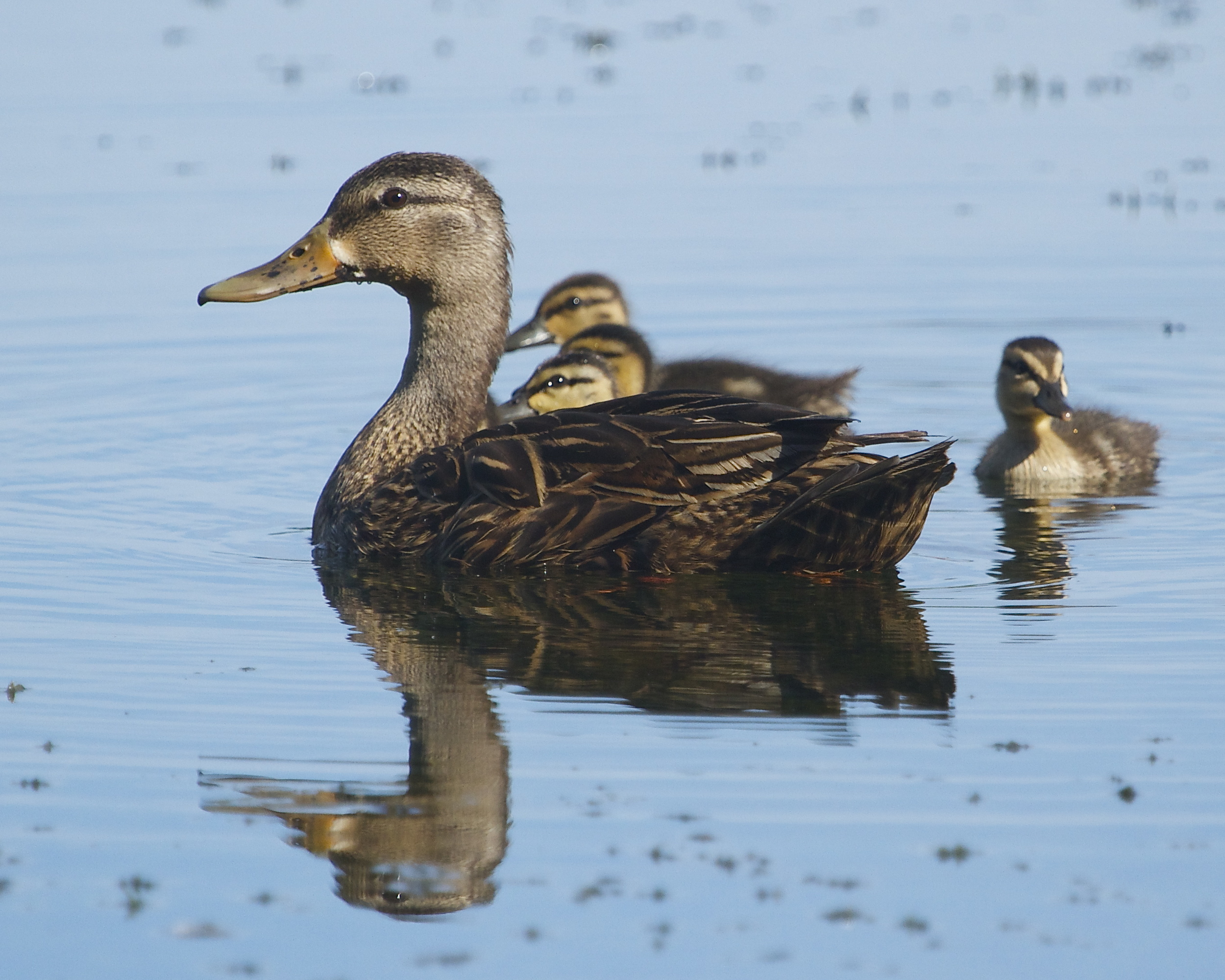 Female Mallard provides protection for her ducklings.