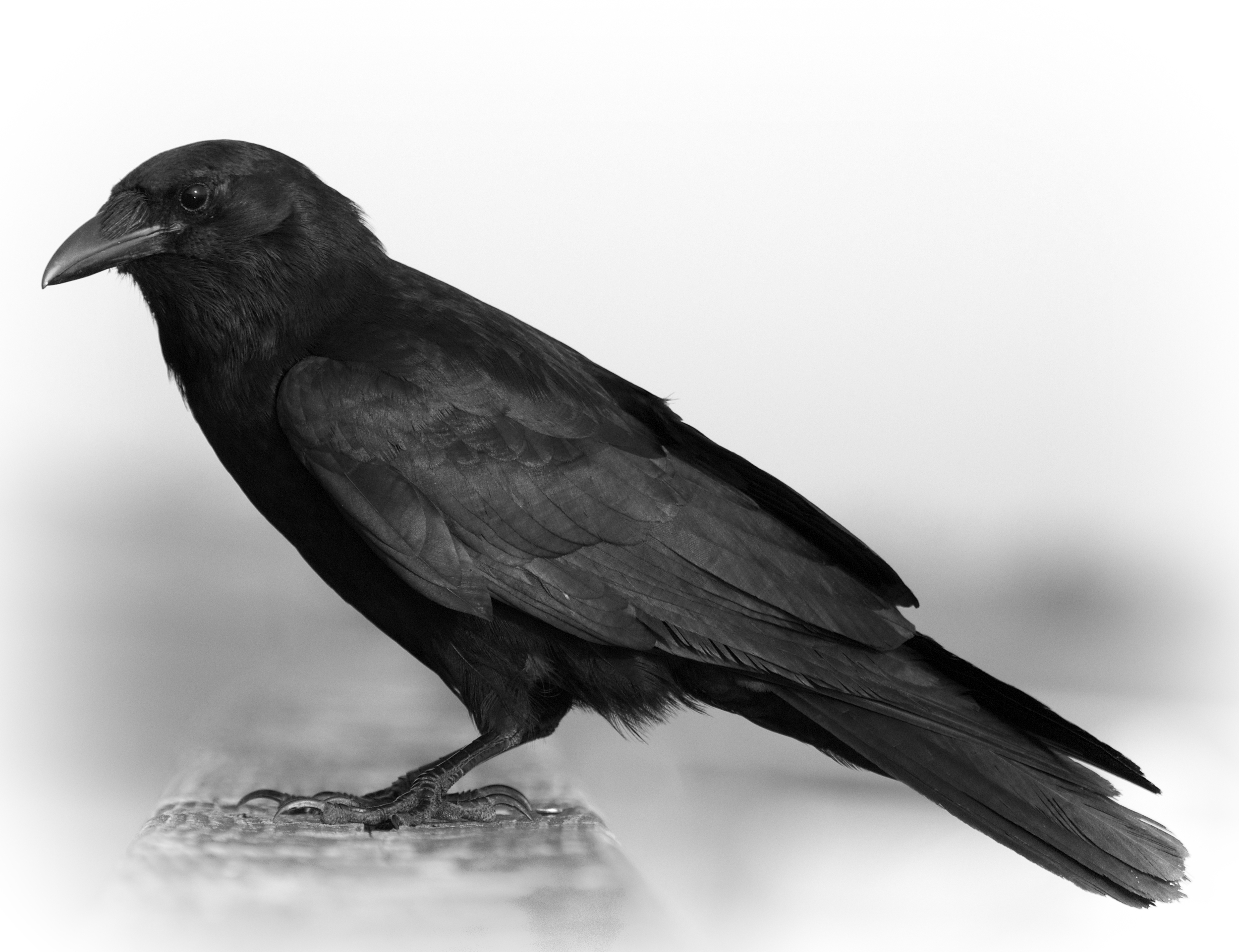 Fish Crow, easy to do since it is all black to begin with..
