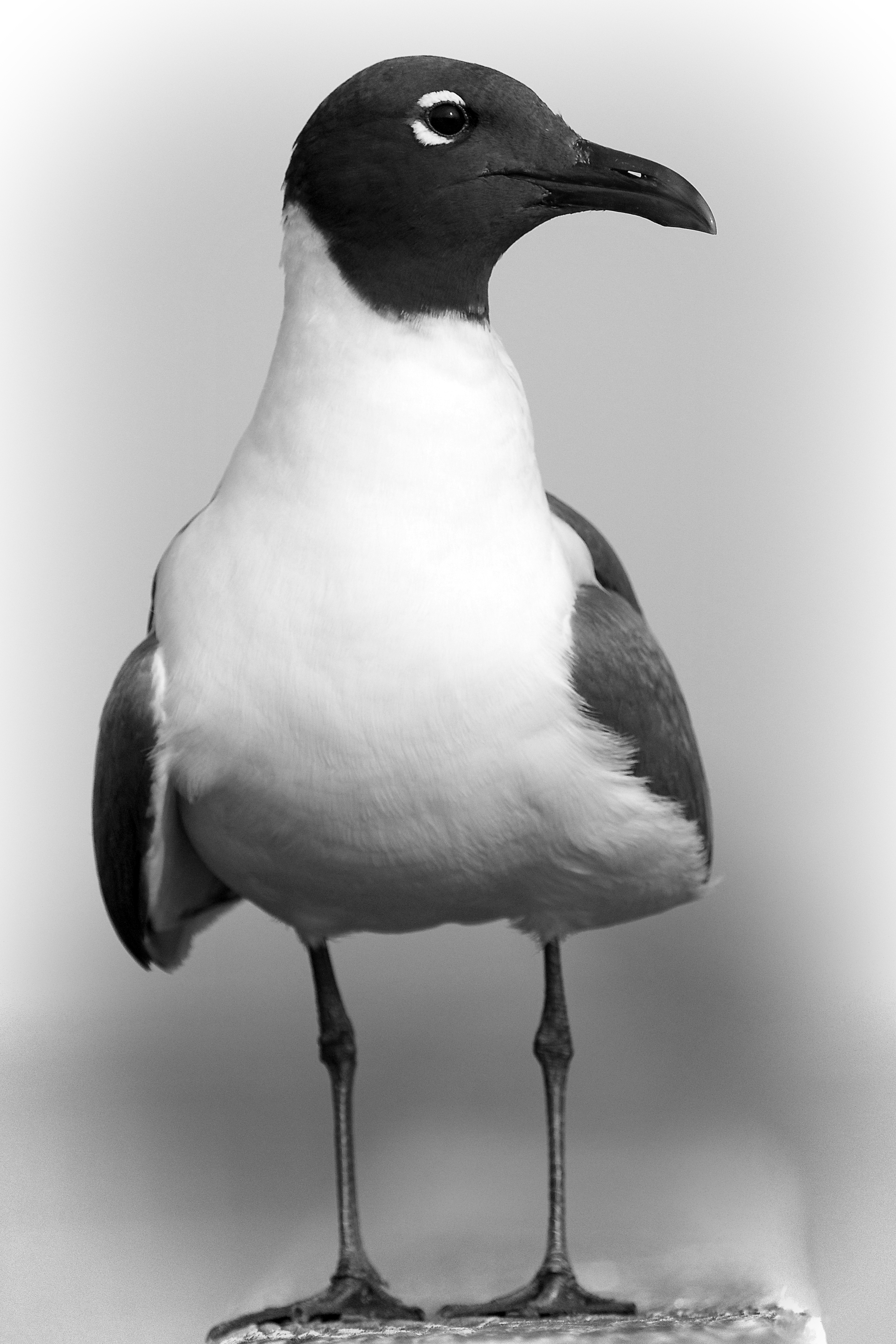 The Laughing Gull is mostly shades of Black, Gray and white.