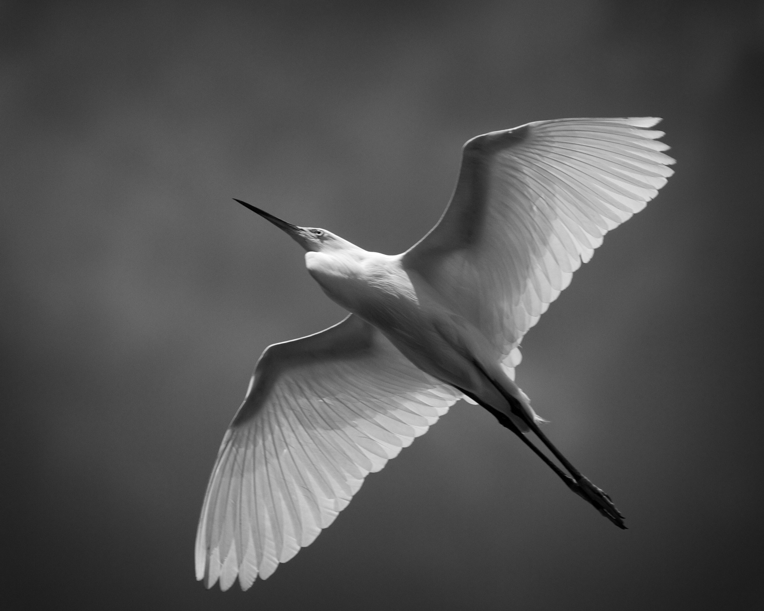 Snowy Egret glides overhead, the bright sunlight gives it an X-Ray appearance