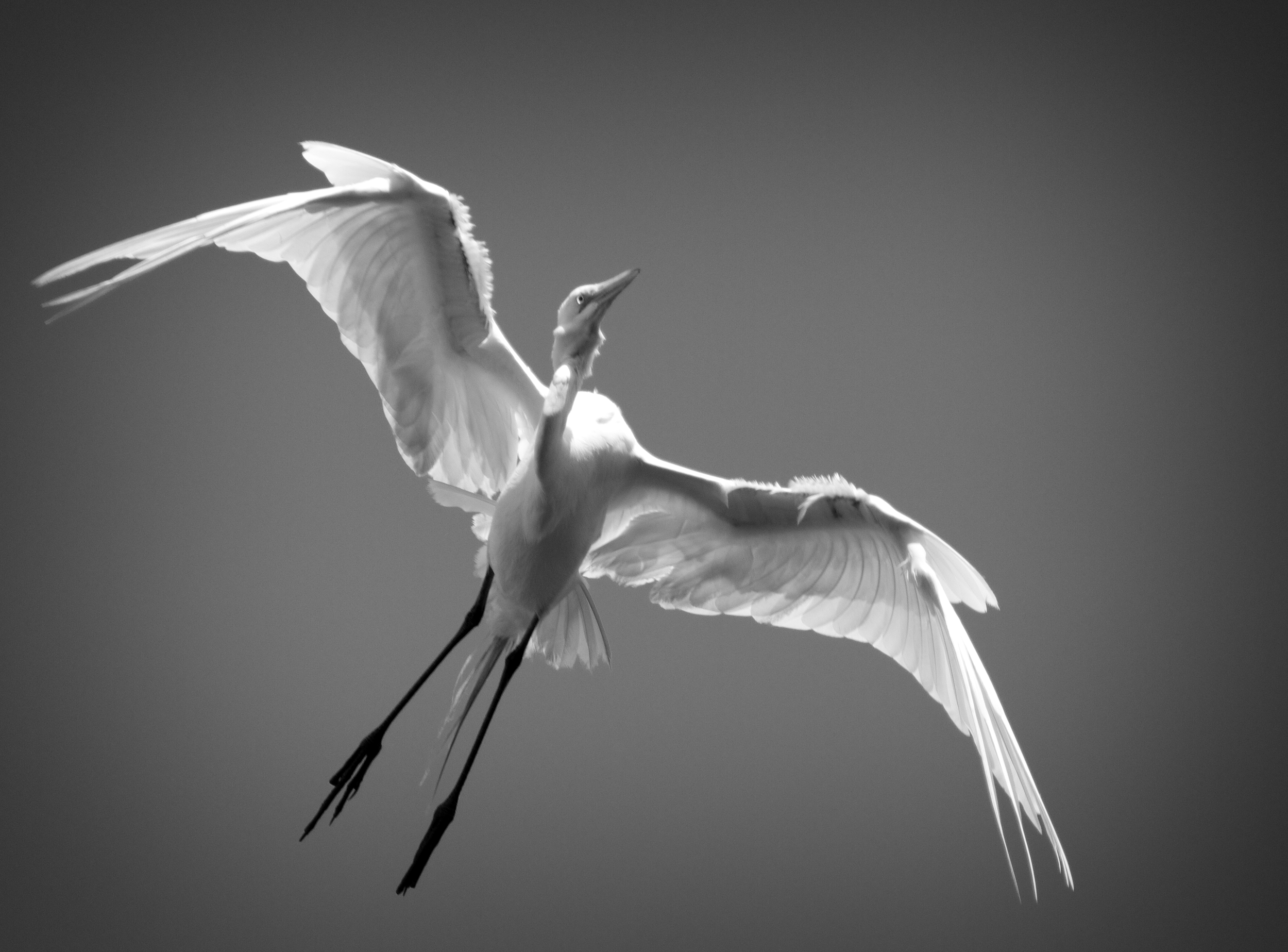 Great Egret in Black and White gives an Ethereal feeling