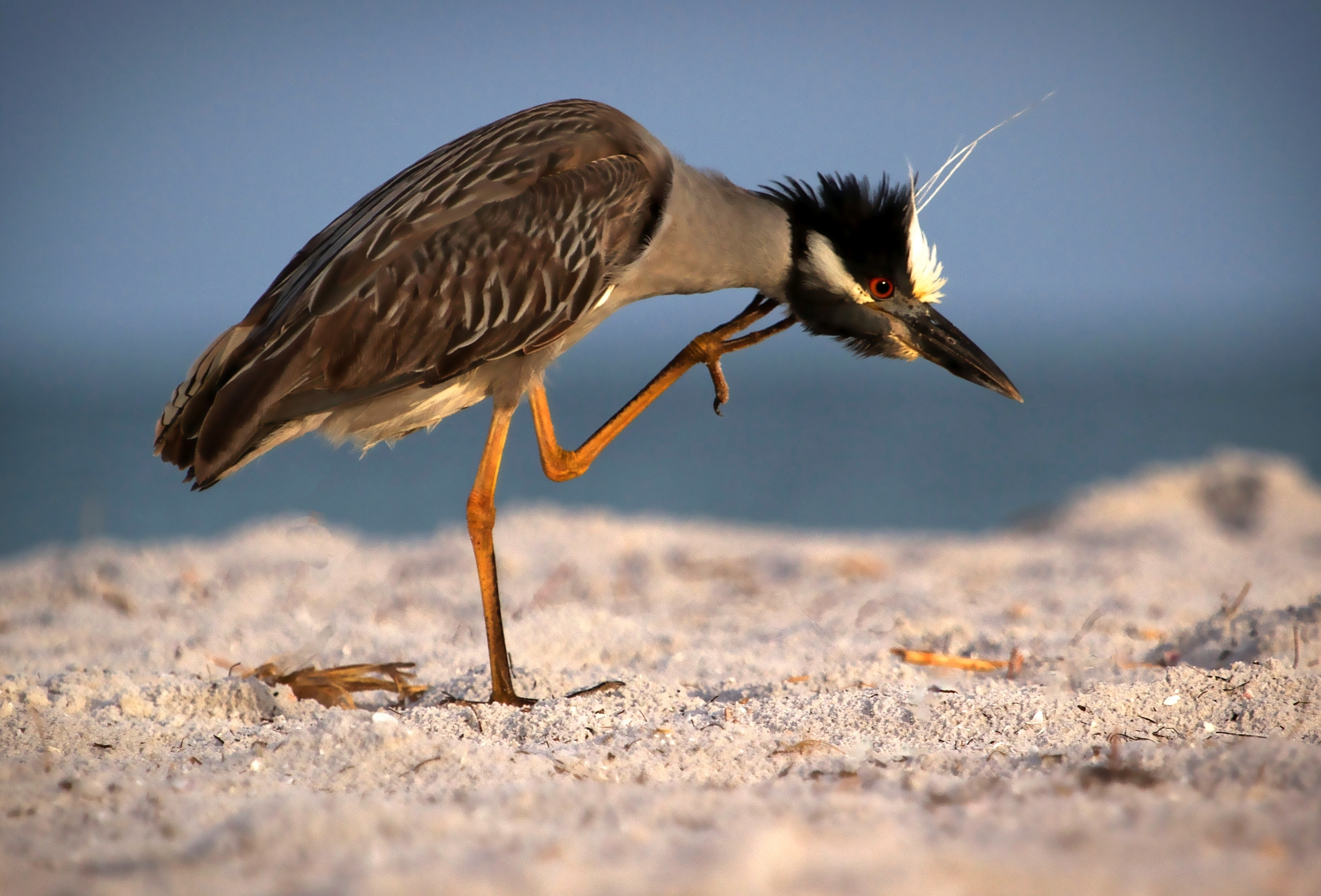 Yellow Crowned Night Heron…with an itch!