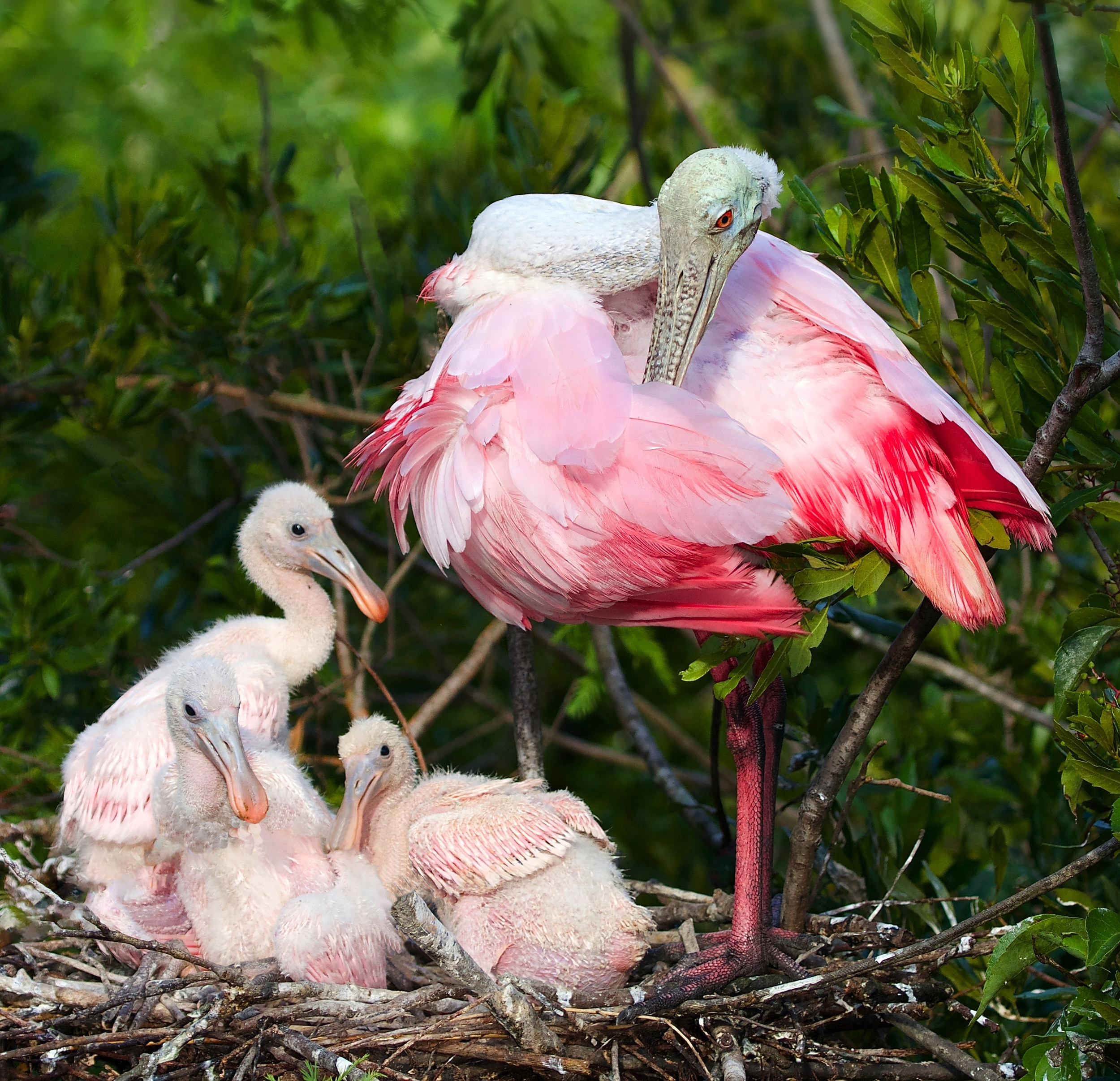 Pretty in Pink, three hatchling spoonbills and their Mom pose for a photo.