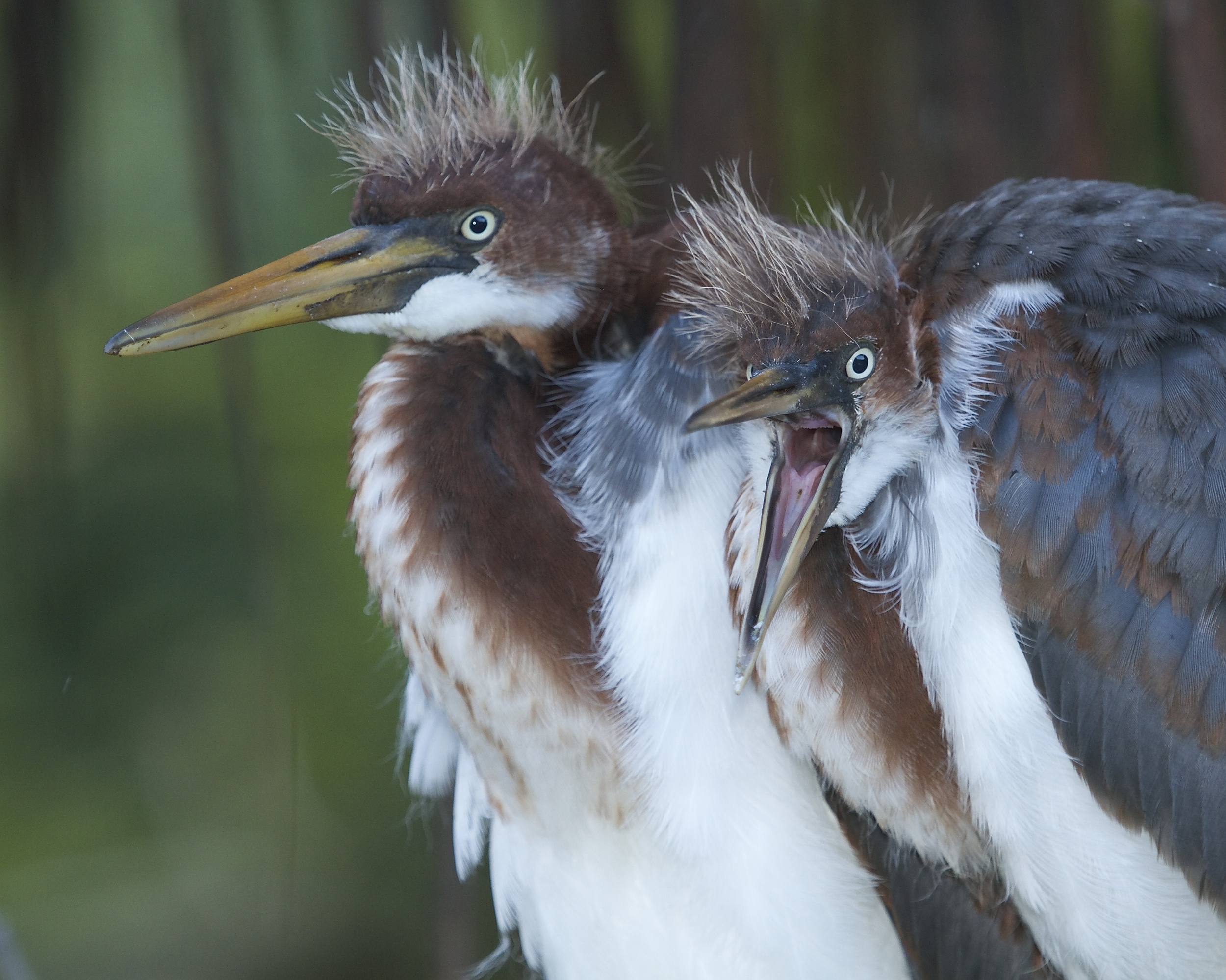 Oh my gosh…look at that! Tricolored Heron fledglings are shocked at what they see.
