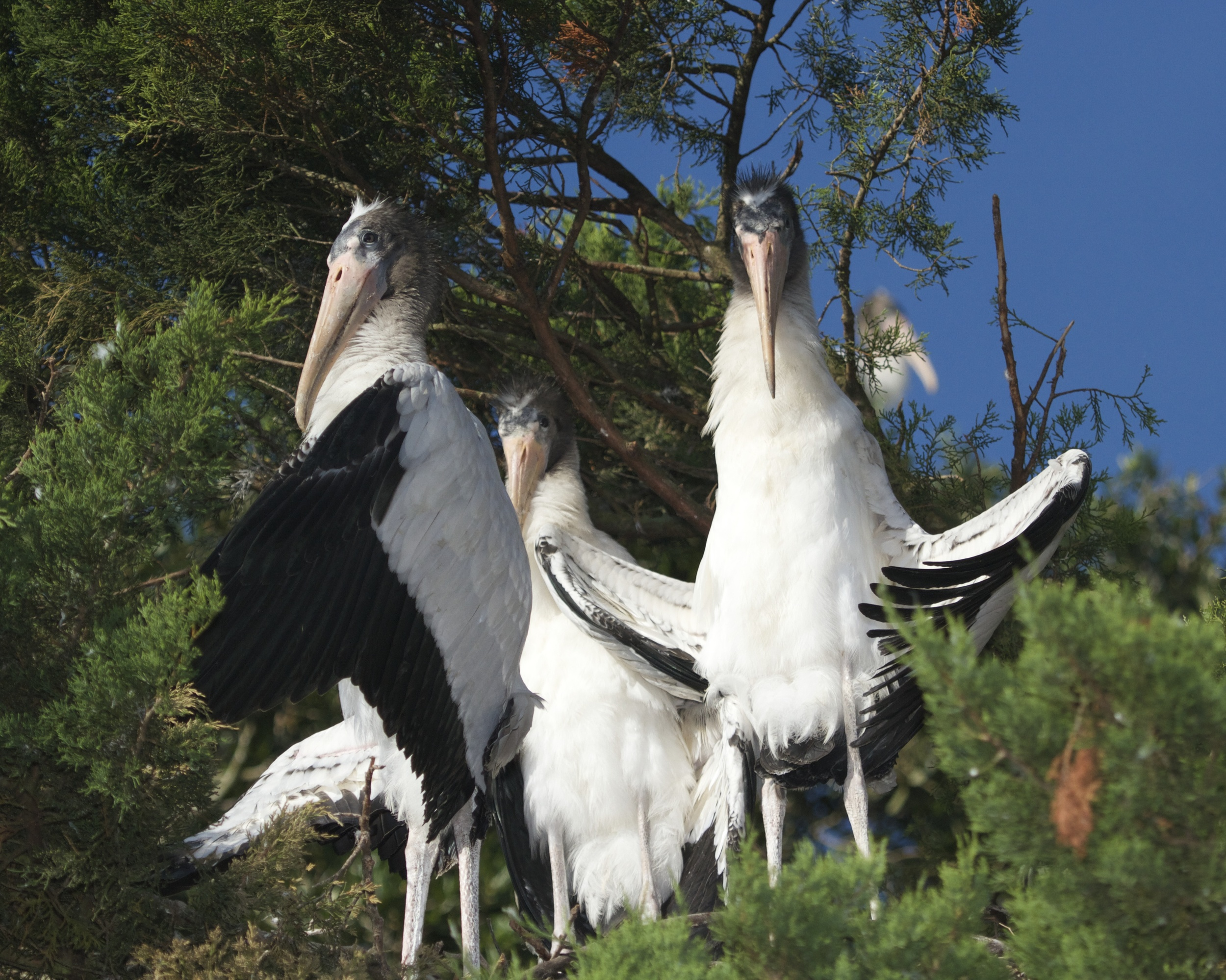 "They have been ""flashed"" by the Woodstork trio in the tree next door who are cooling off!"