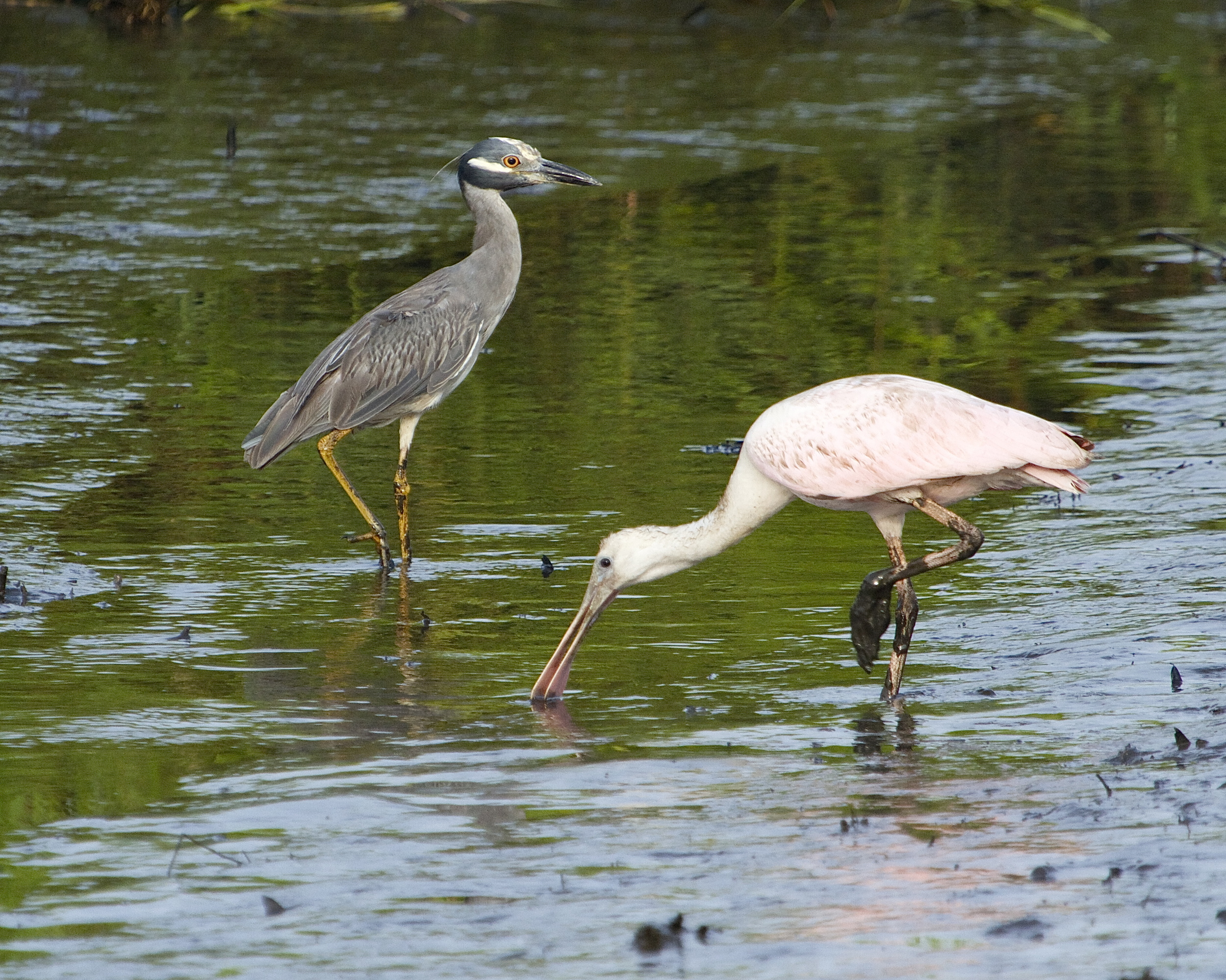 You have to be a real TOUGH MUDDER to make it on the Broward. George and this Roseate Spoonbill are not afraid to get down and dirty. IT just isn't pretty no matter how you take the picture though.