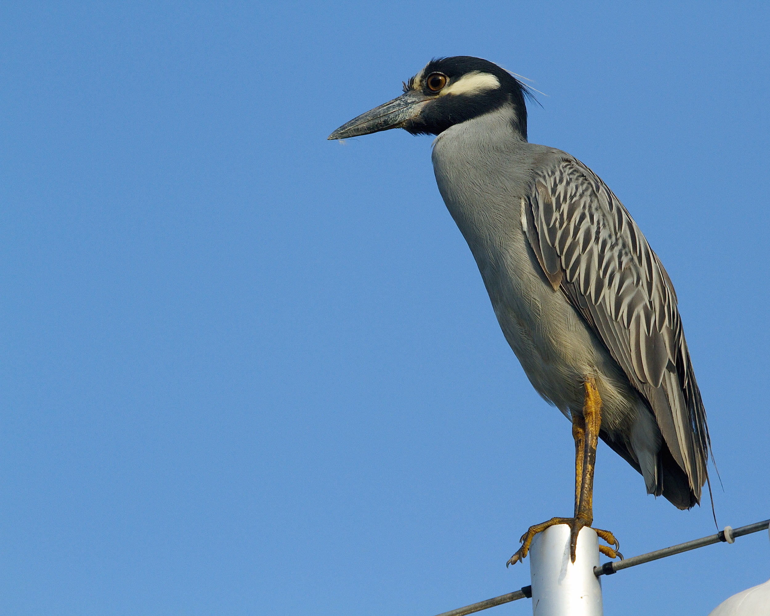 George, the Yellow Crowned Night Heron takes a perch and observes George Junior below in the mud. It is time to see if the young bird has learned to hunt in the mud.
