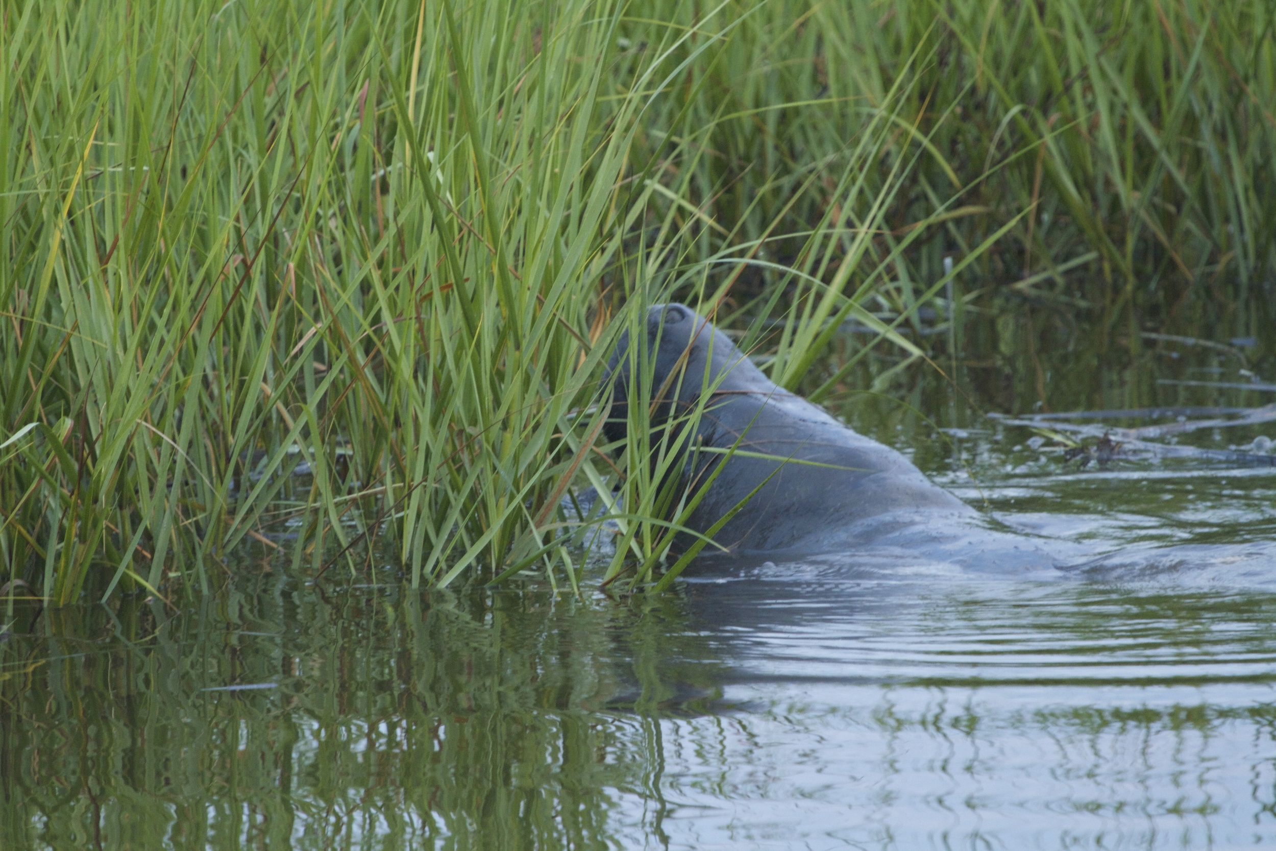 An enormous manatee munches on the marsh grass.